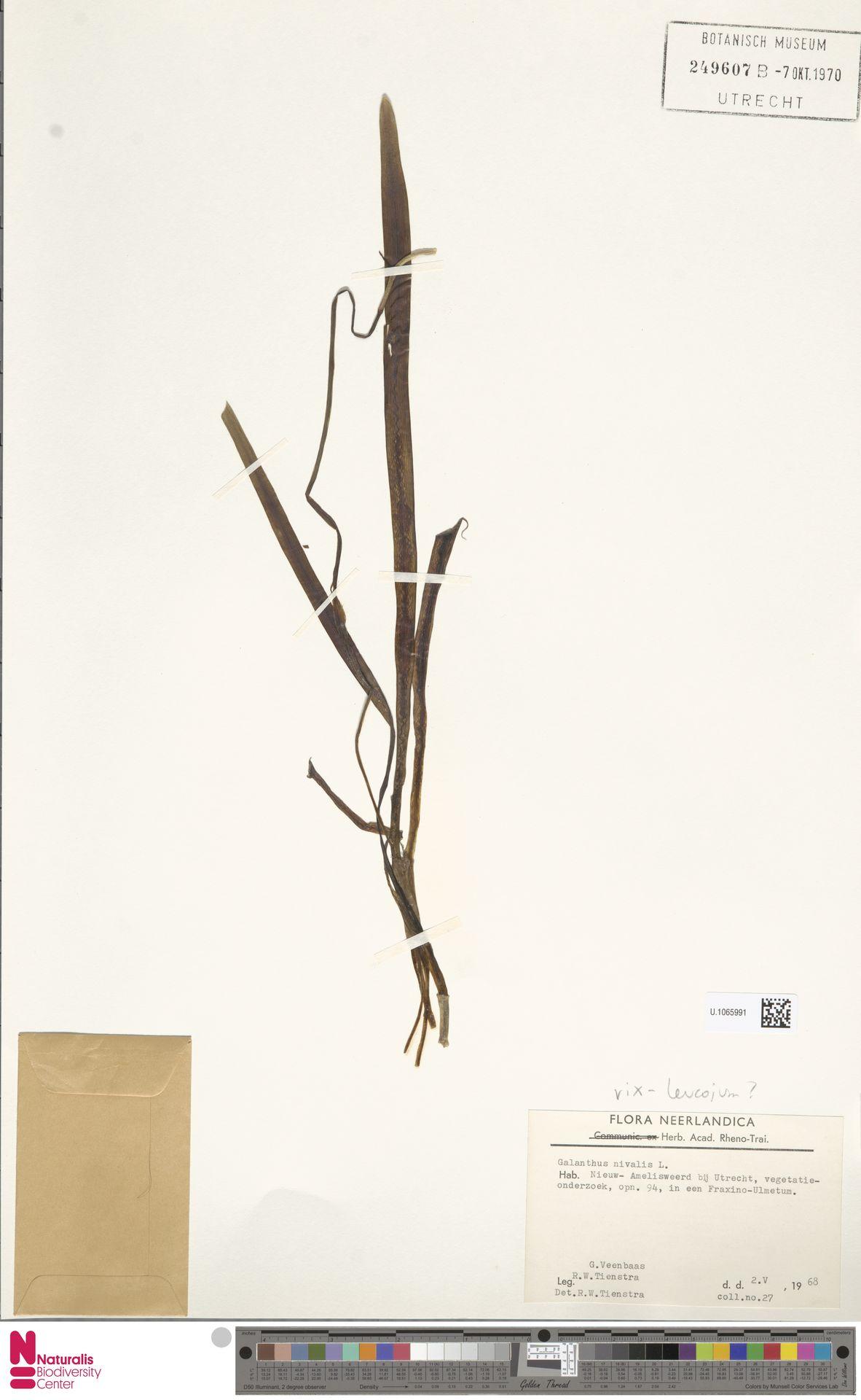 U.1065991 | Galanthus nivalis L.