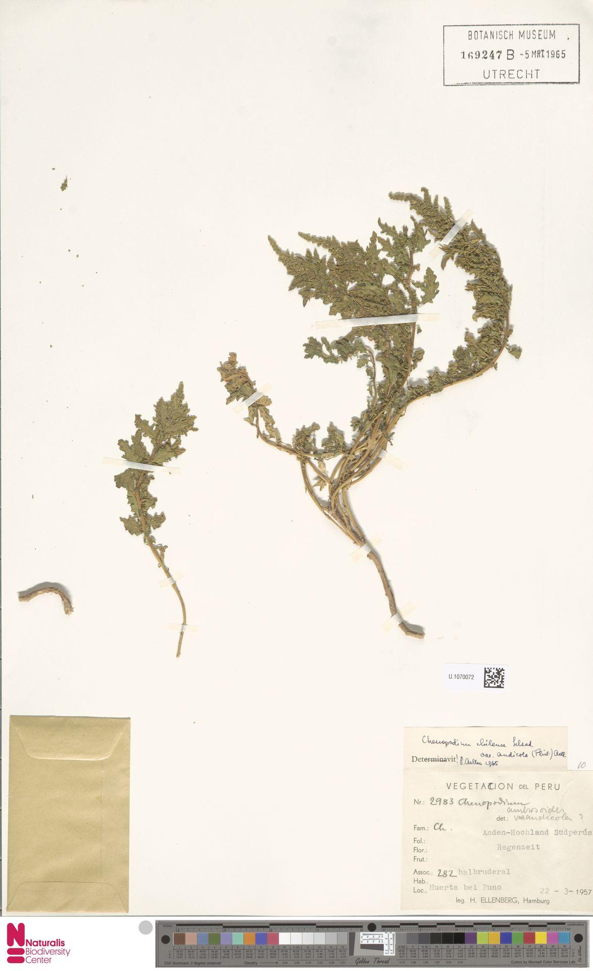 U.1070072 | Chenopodium chilense Pers.