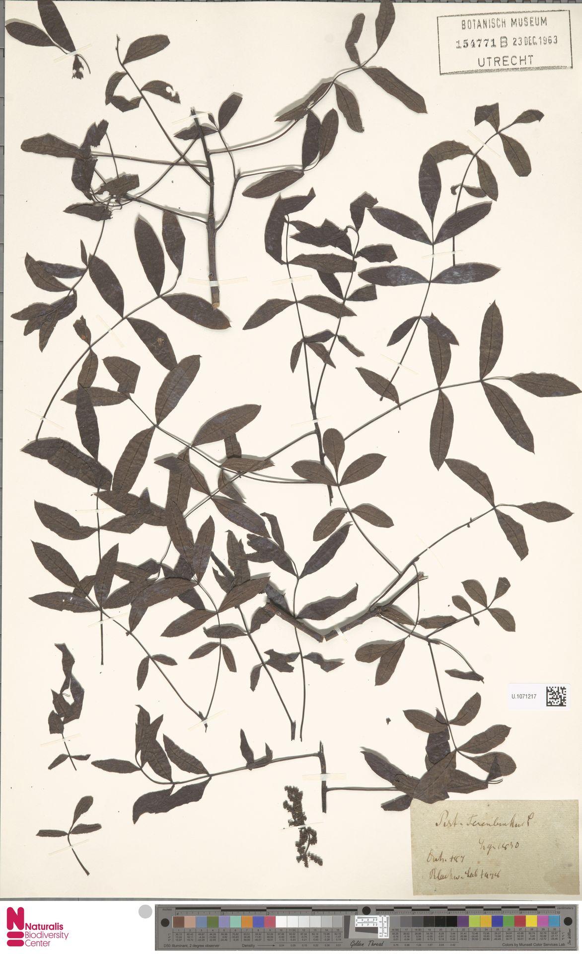 U.1071217   Pistacia terebinthus L.