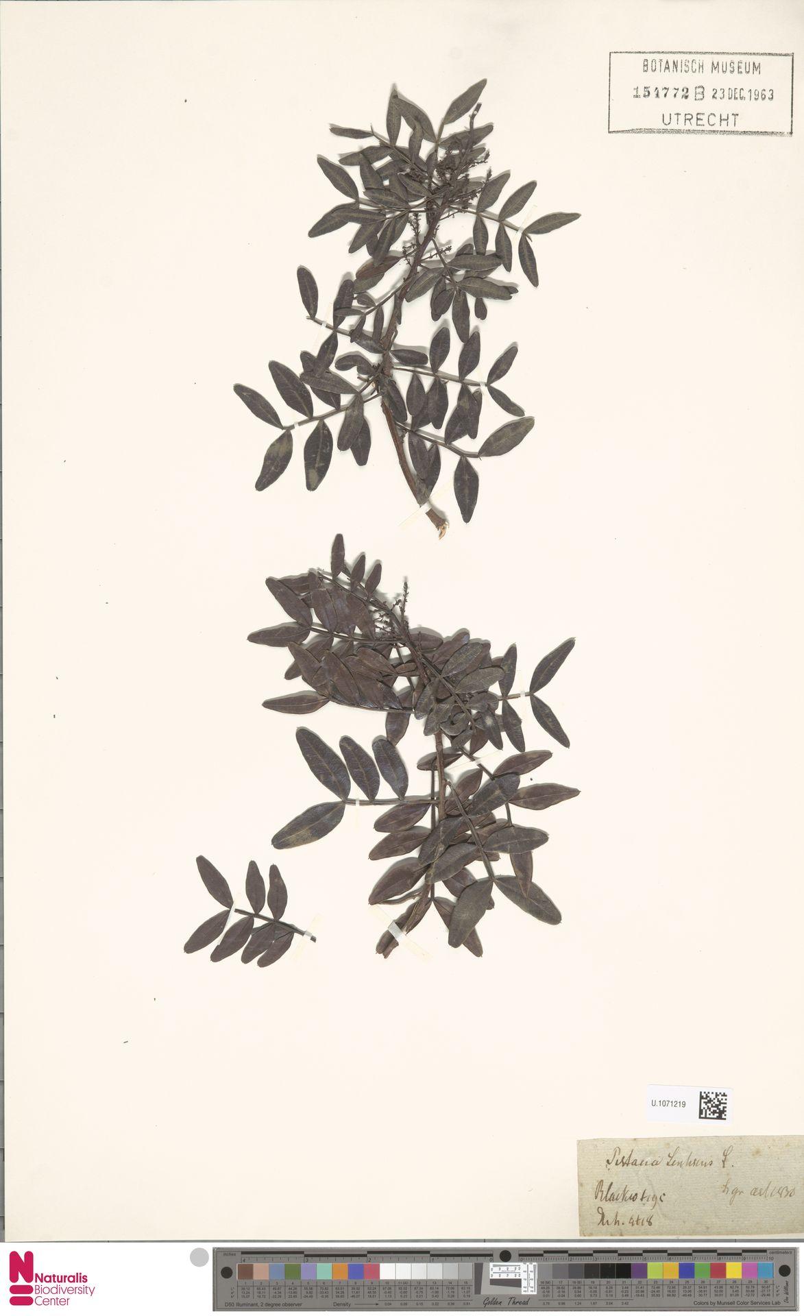 U.1071219 | Pistacia terebinthus L.