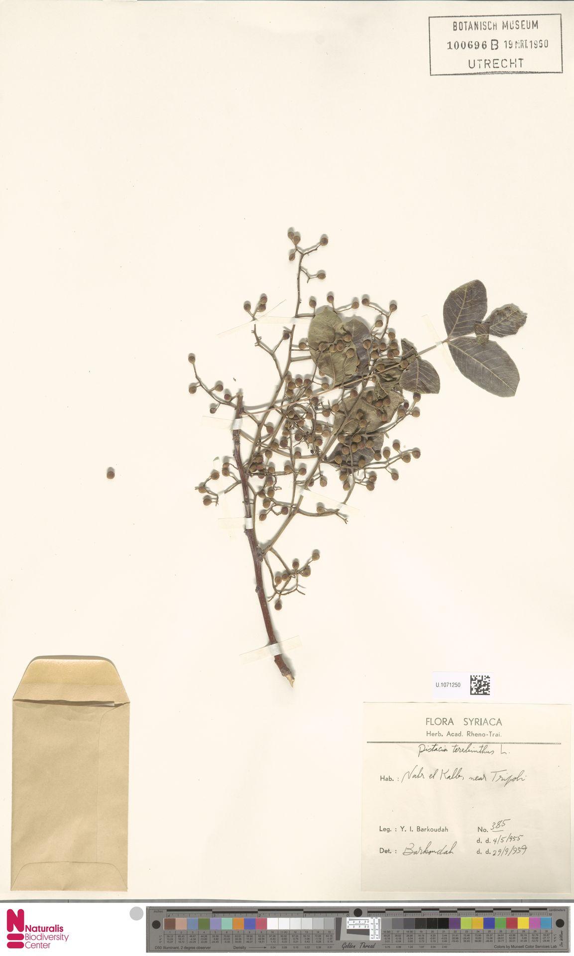 U.1071250 | Pistacia terebinthus L.