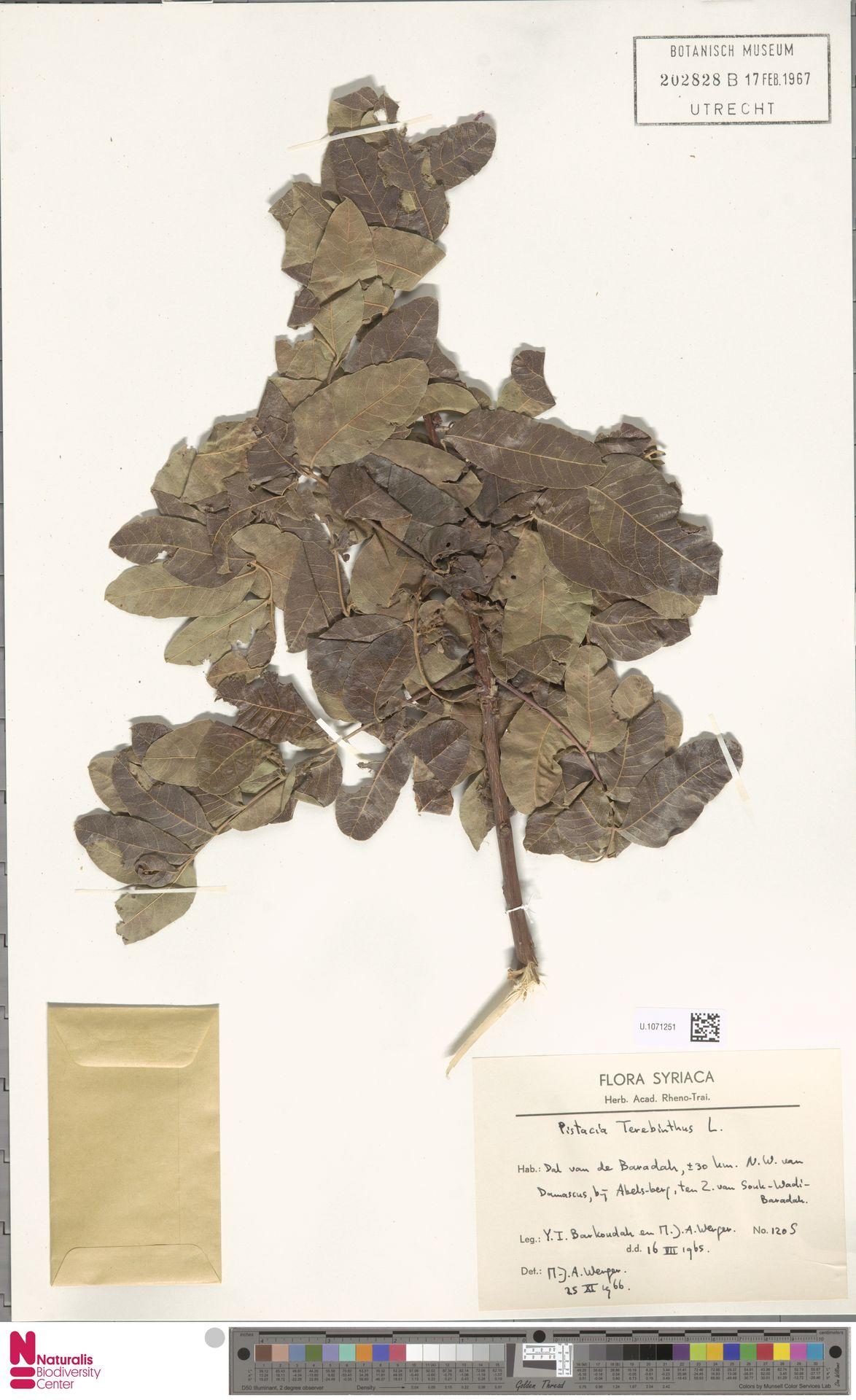 U.1071251 | Pistacia terebinthus L.