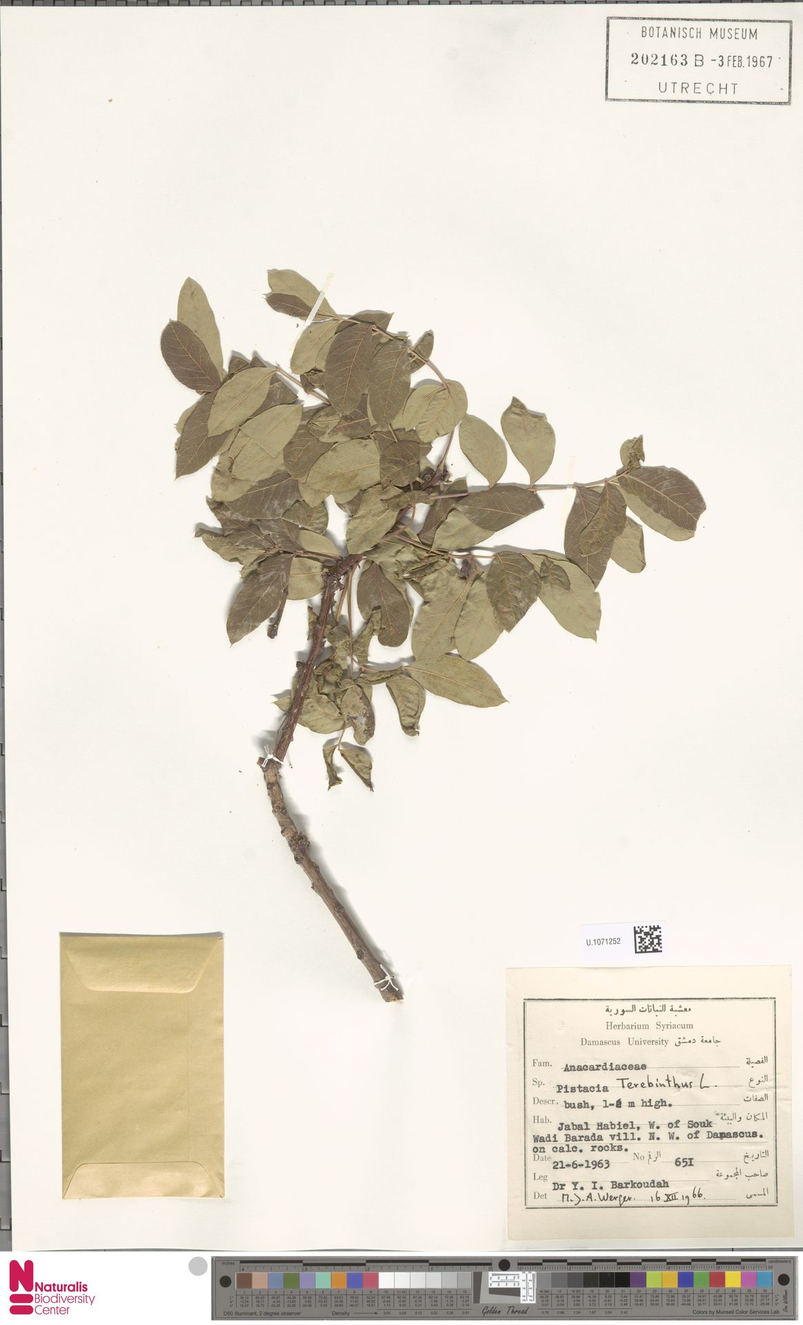 U.1071252 | Pistacia terebinthus L.