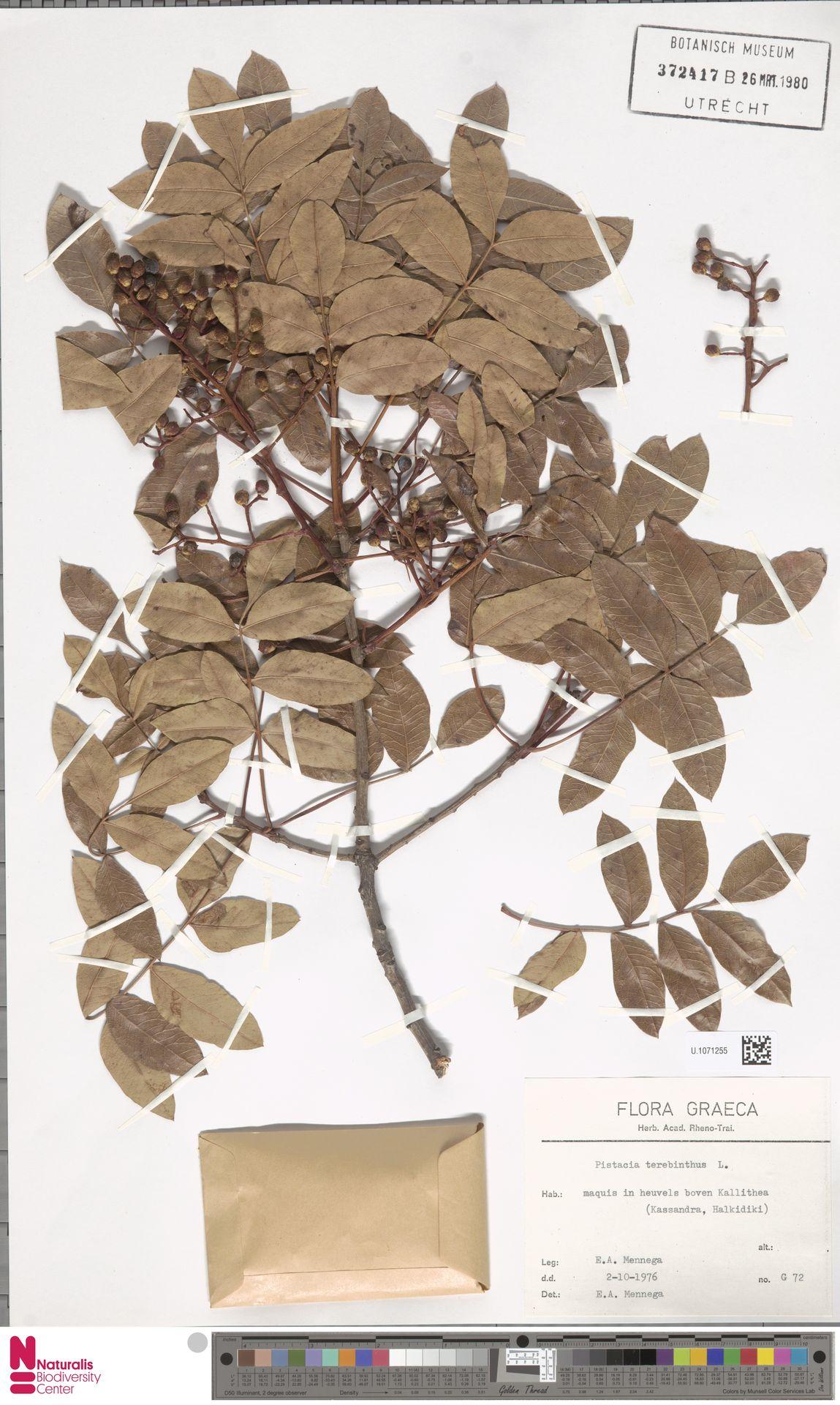 U.1071255 | Pistacia terebinthus L.