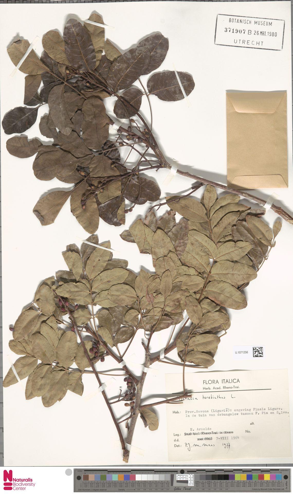 U.1071256 | Pistacia terebinthus L.