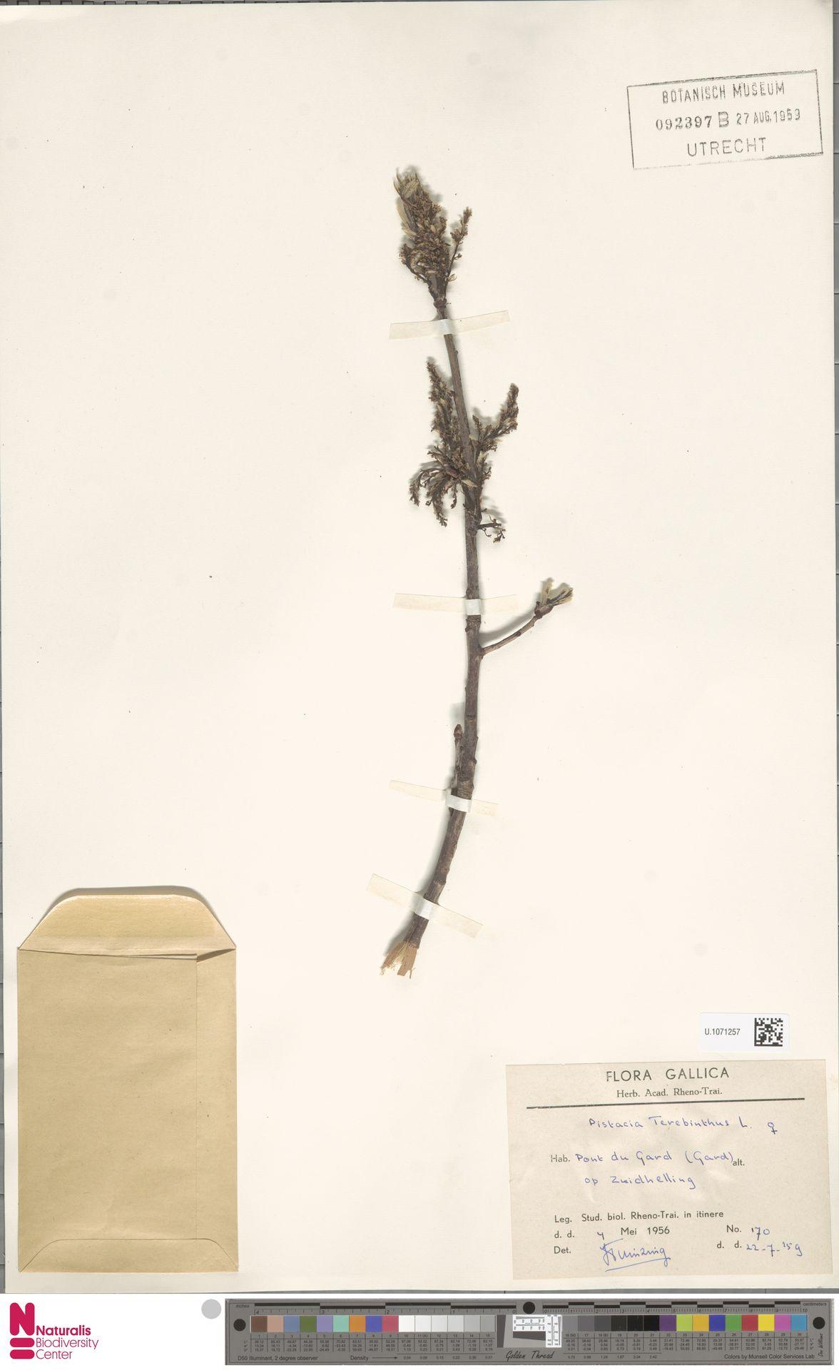 U.1071257 | Pistacia terebinthus L.