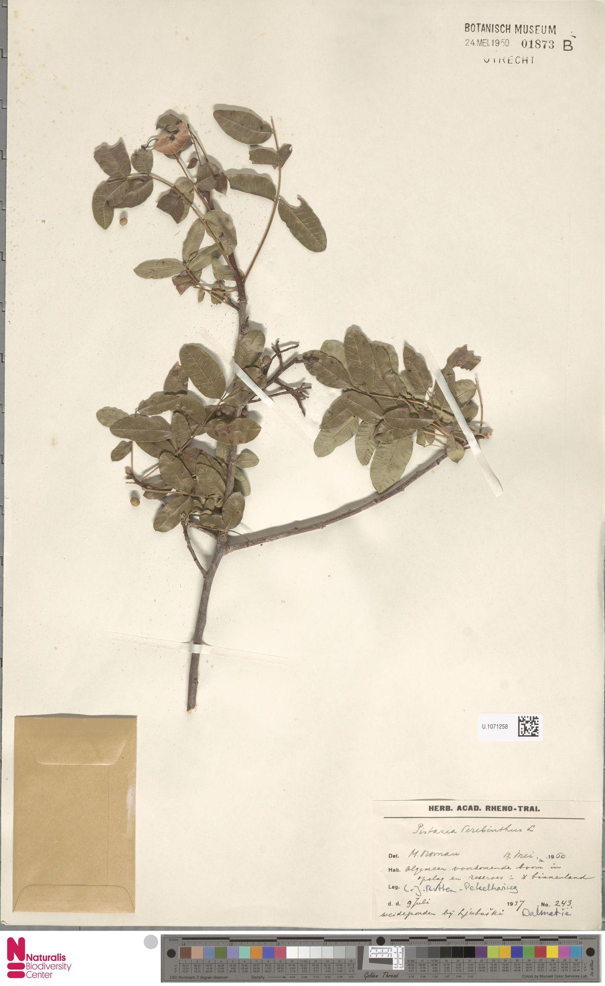 U.1071258 | Pistacia terebinthus L.