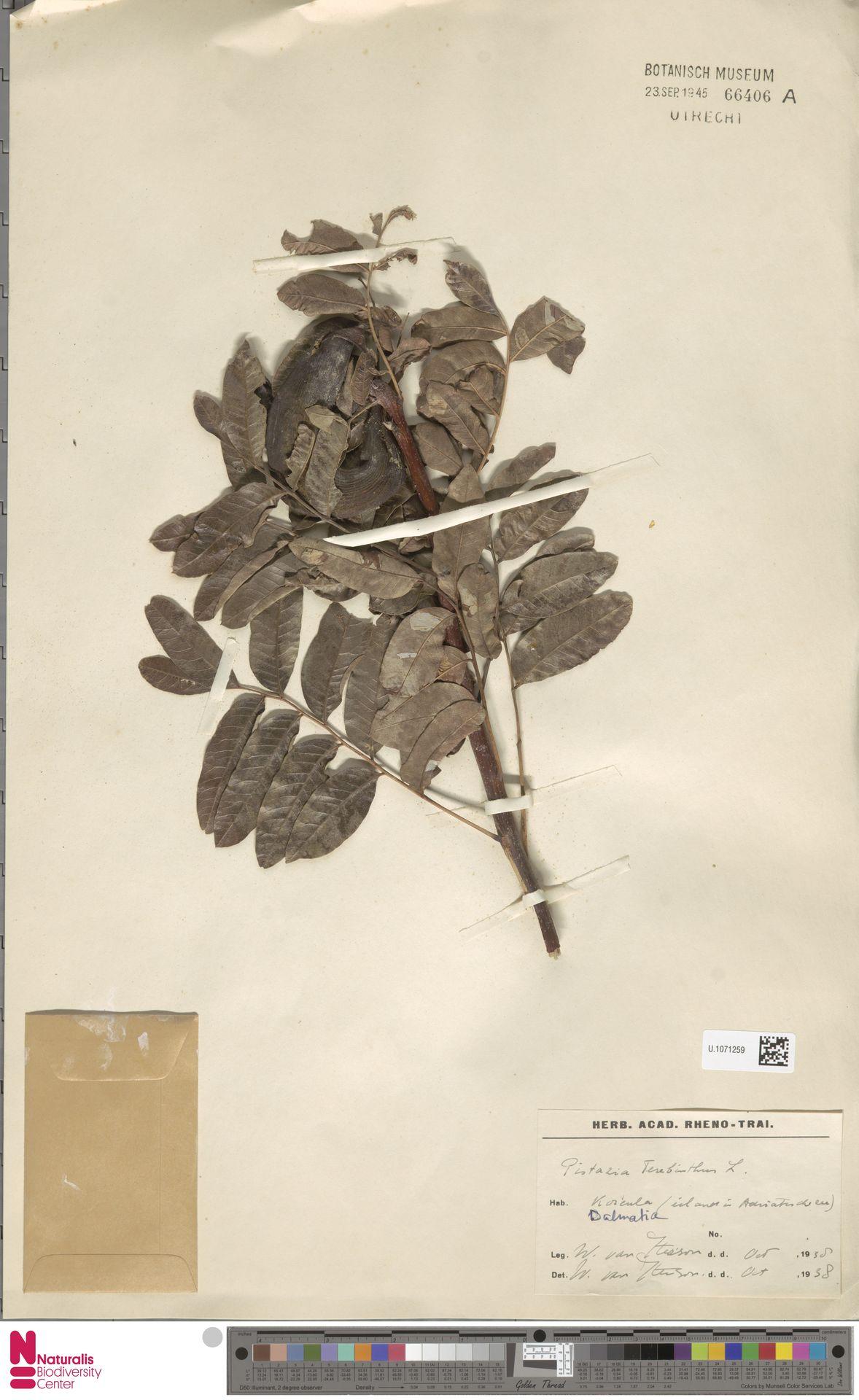 U.1071259 | Pistacia terebinthus L.