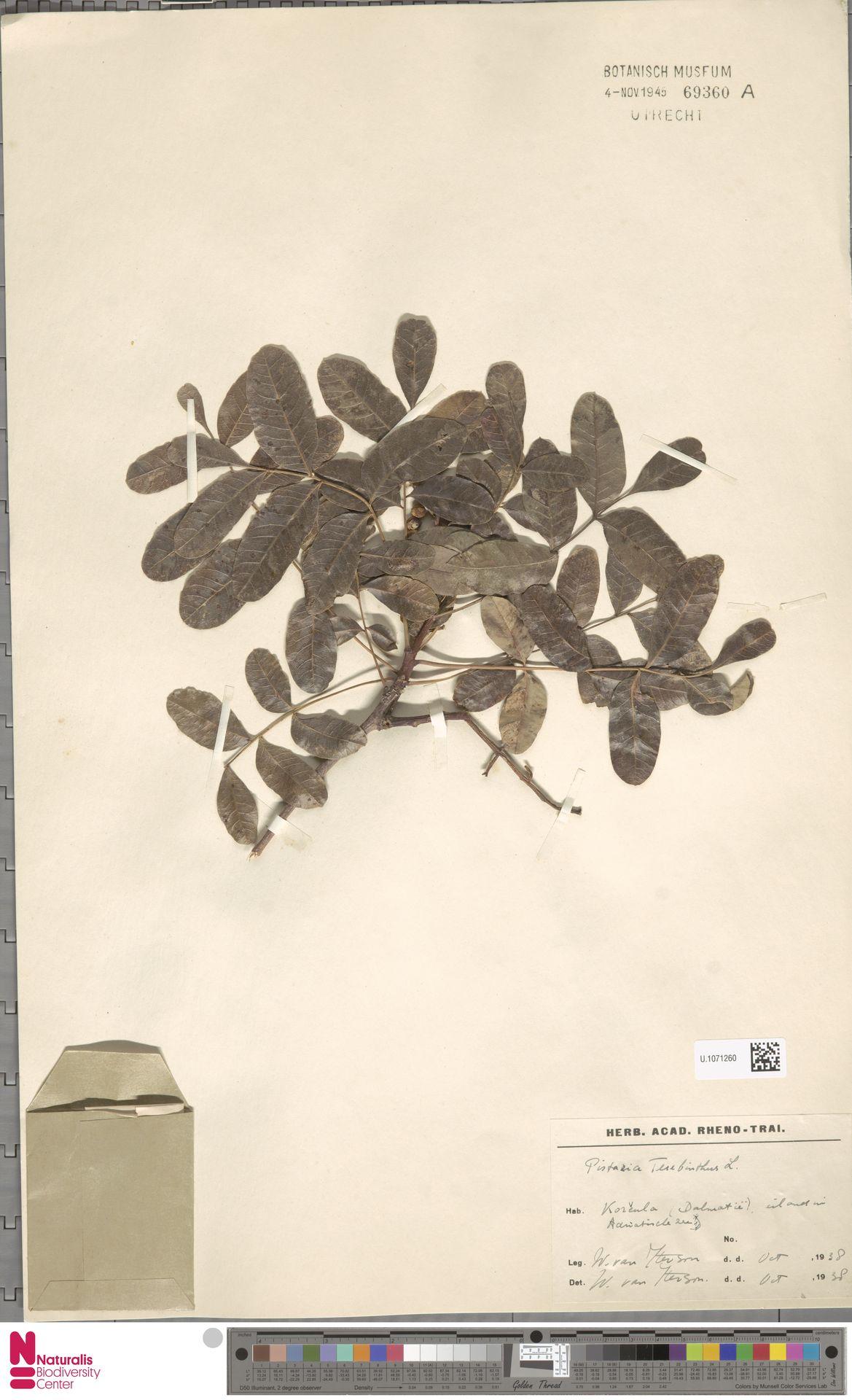 U.1071260   Pistacia terebinthus L.