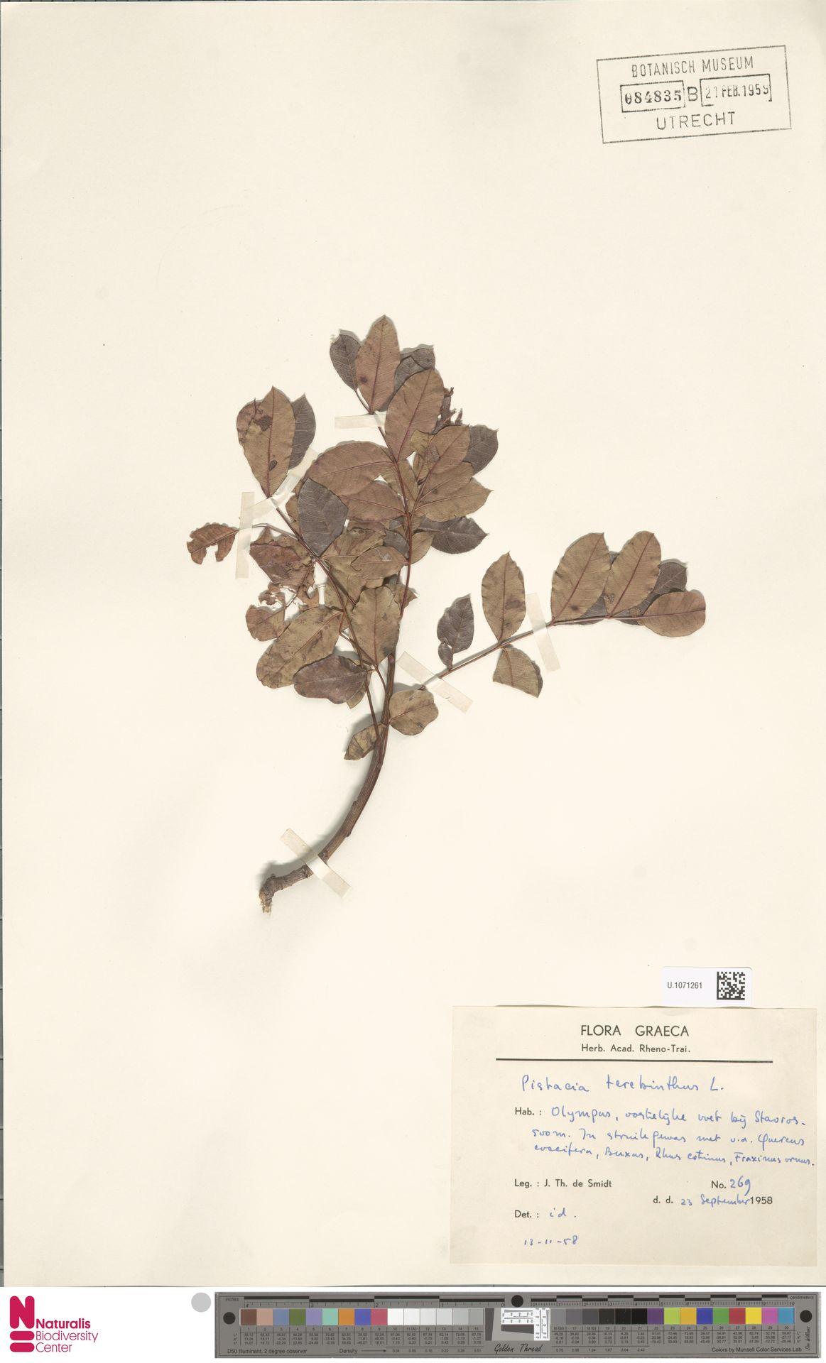 U.1071261 | Pistacia terebinthus L.