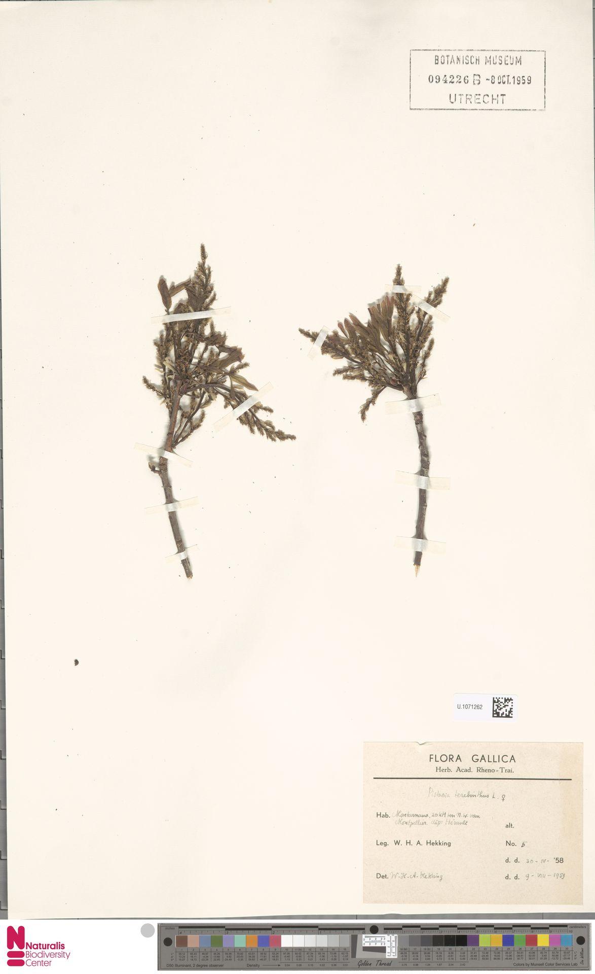 U.1071262 | Pistacia terebinthus L.