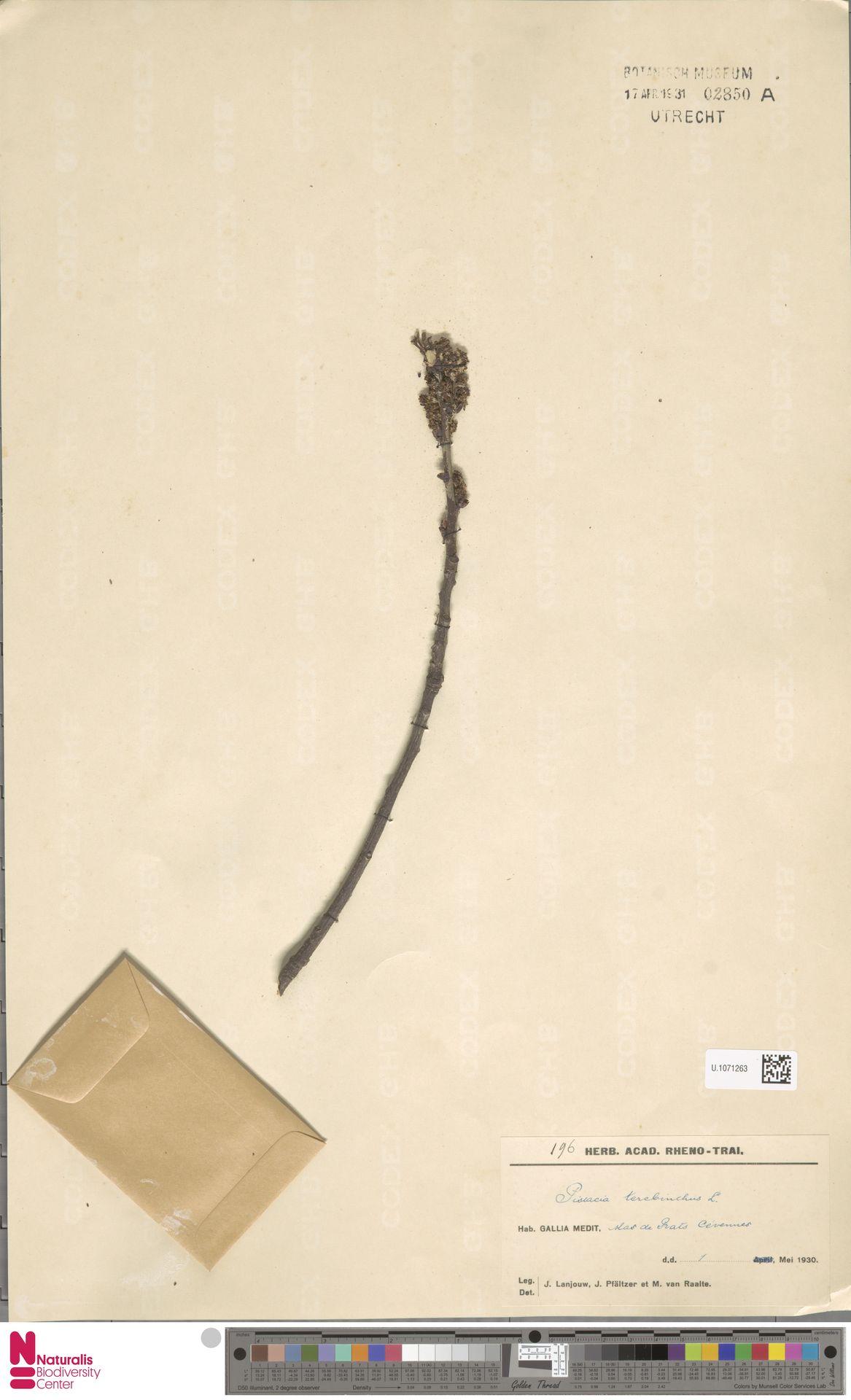 U.1071263 | Pistacia terebinthus L.