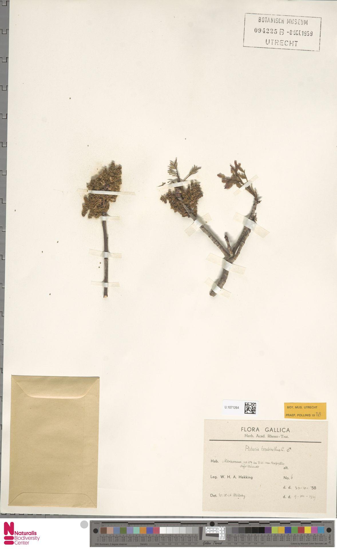 U.1071264 | Pistacia terebinthus L.