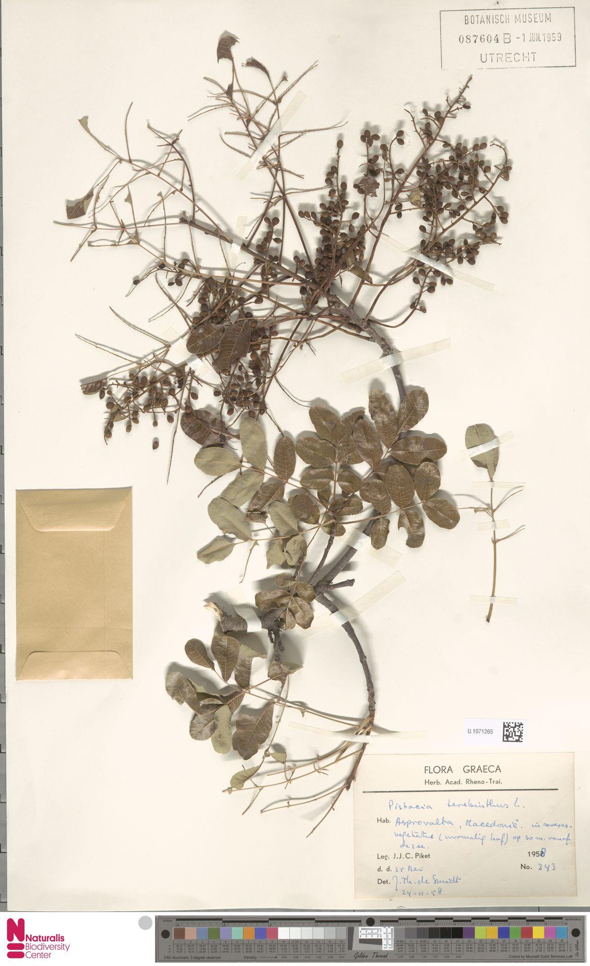 U.1071265 | Pistacia terebinthus L.