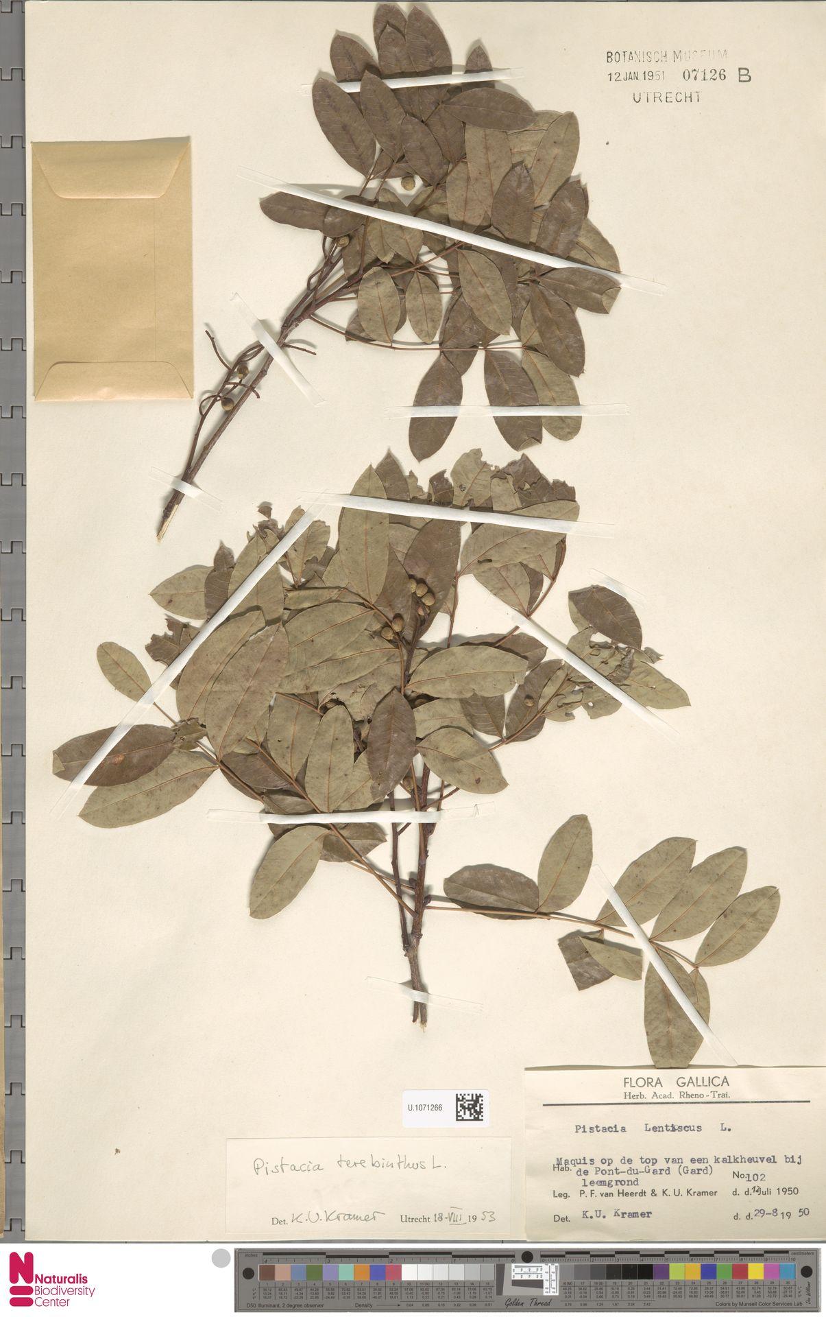 U.1071266   Pistacia terebinthus L.
