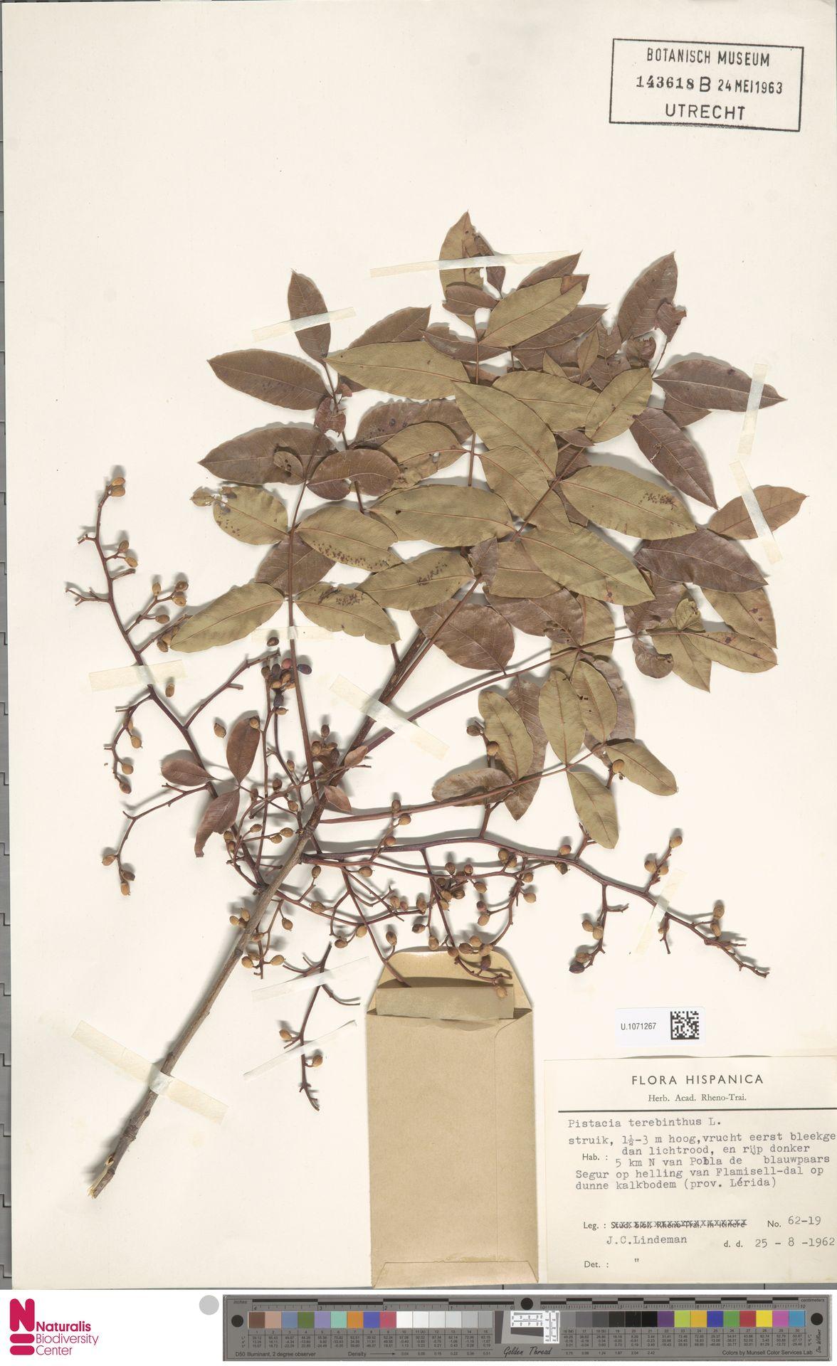 U.1071267 | Pistacia terebinthus L.
