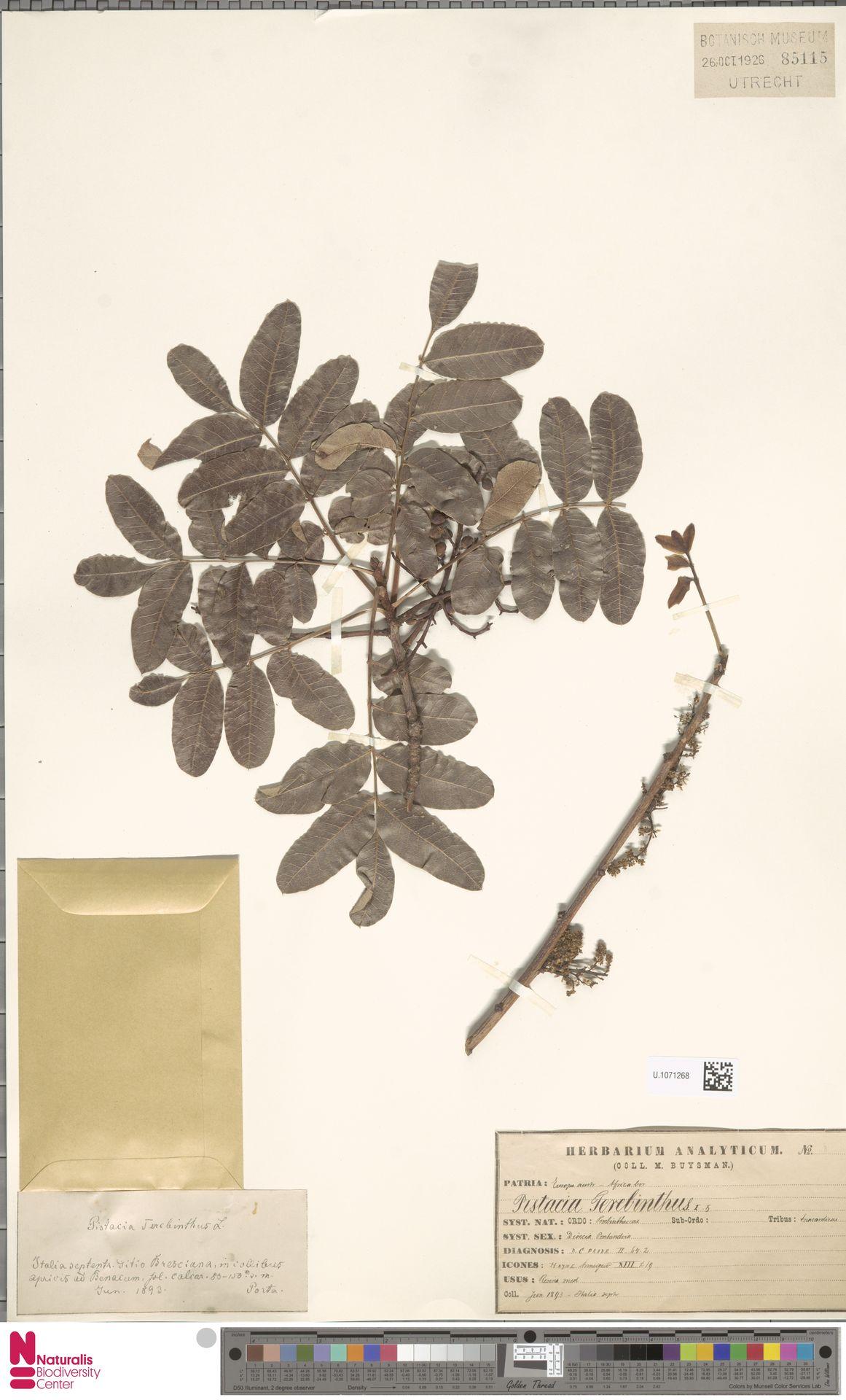 U.1071268 | Pistacia terebinthus L.