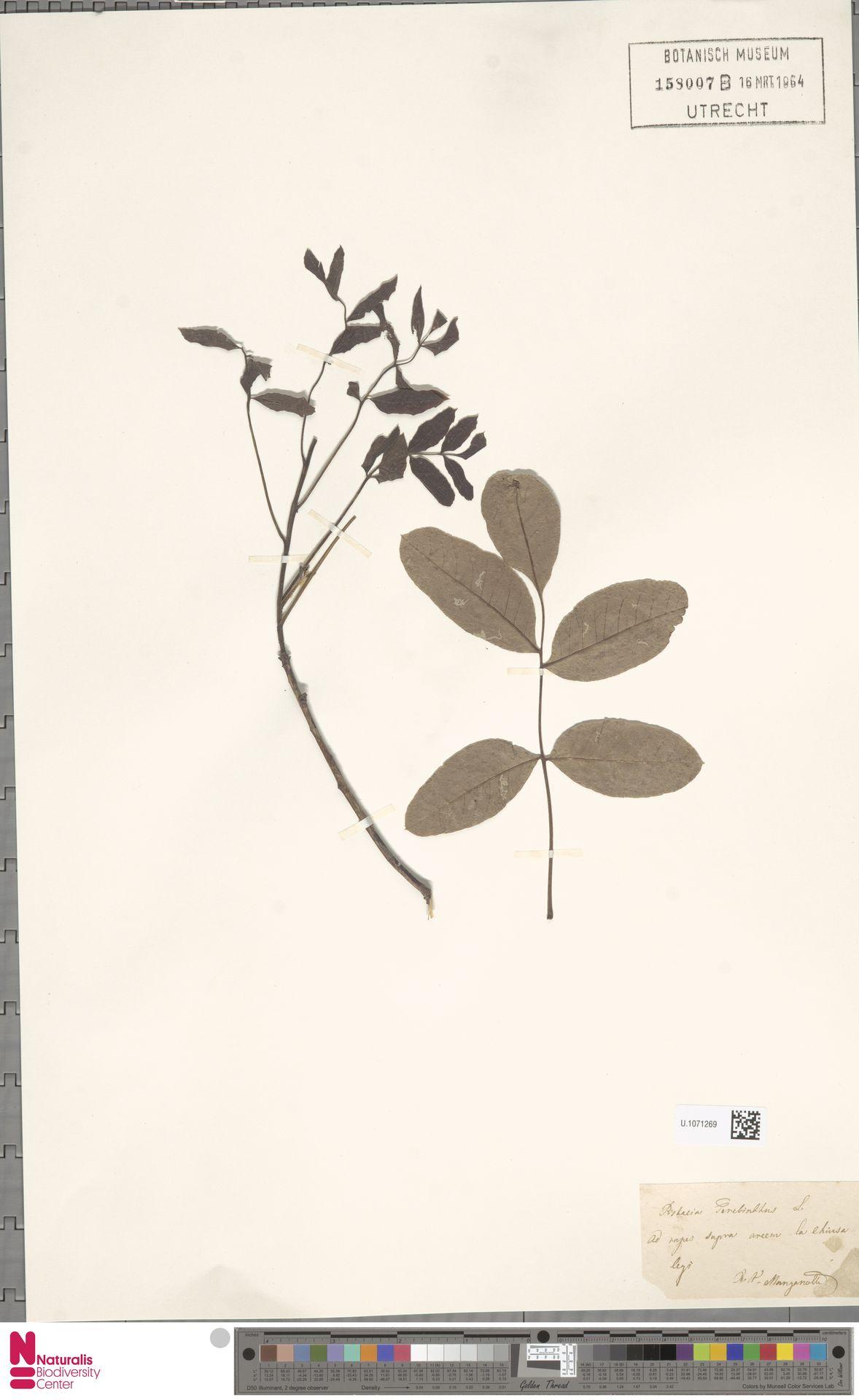 U.1071269 | Pistacia terebinthus L.