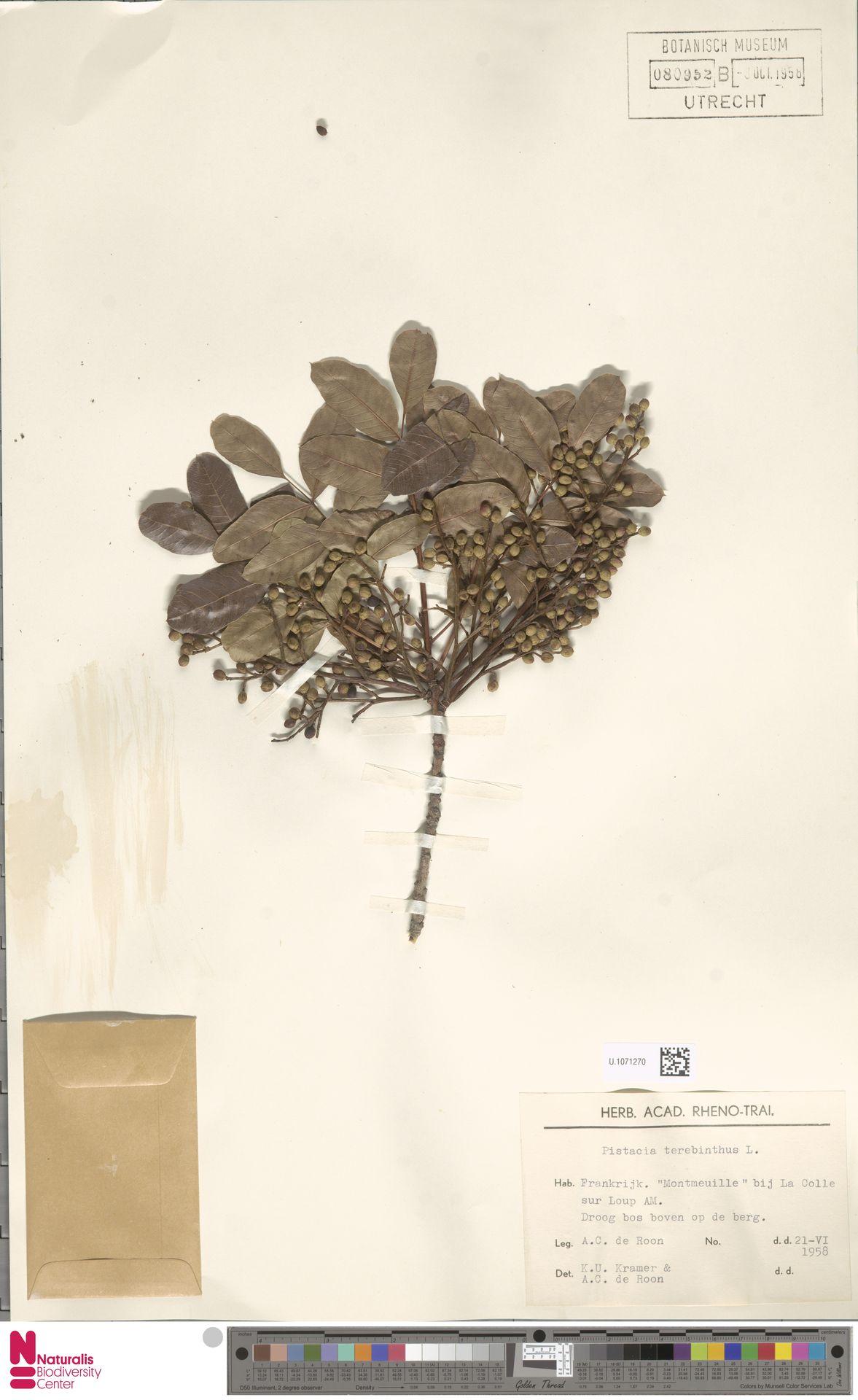 U.1071270 | Pistacia terebinthus L.