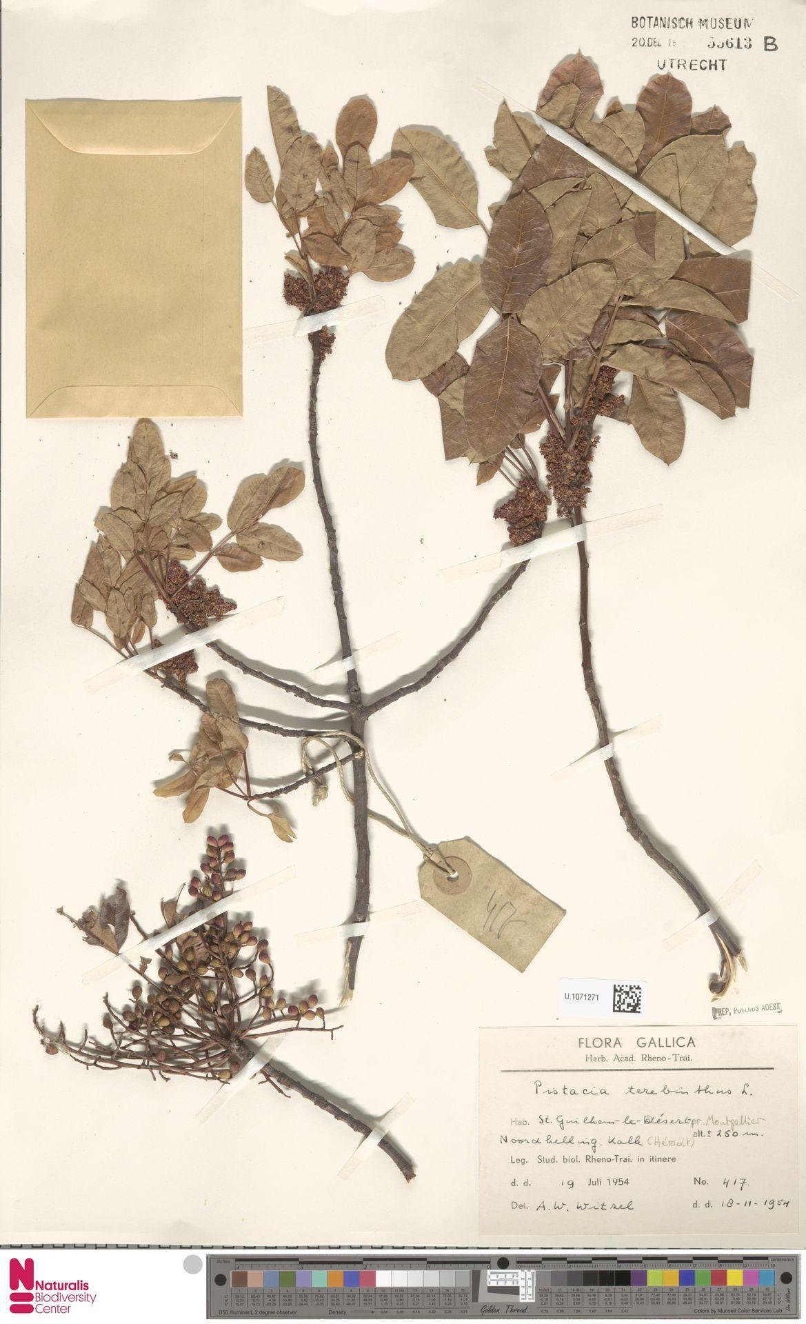 U.1071271 | Pistacia terebinthus L.