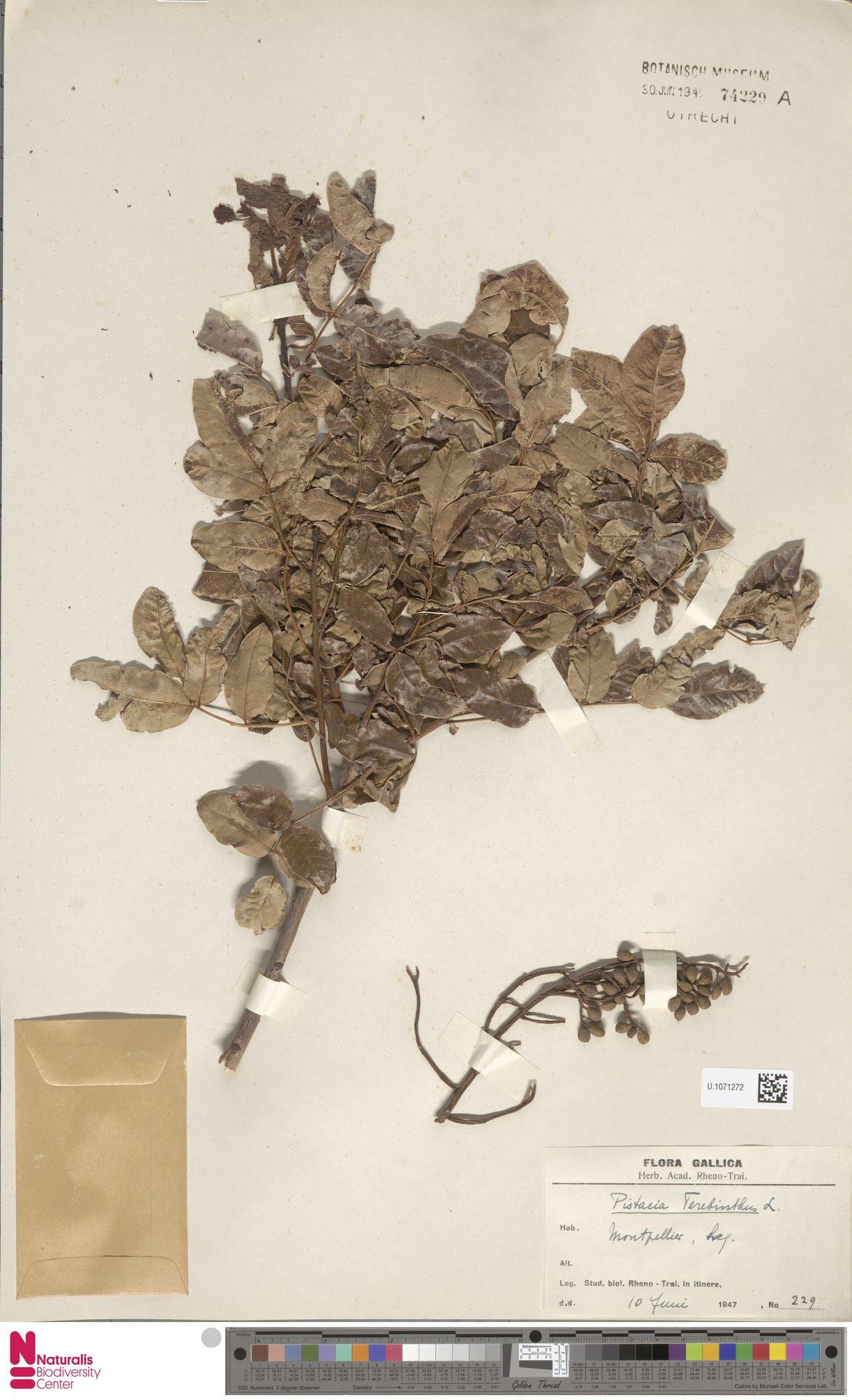 U.1071272 | Pistacia terebinthus L.
