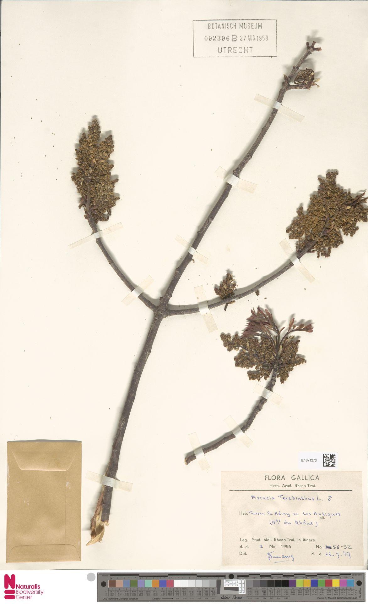 U.1071273 | Pistacia terebinthus L.