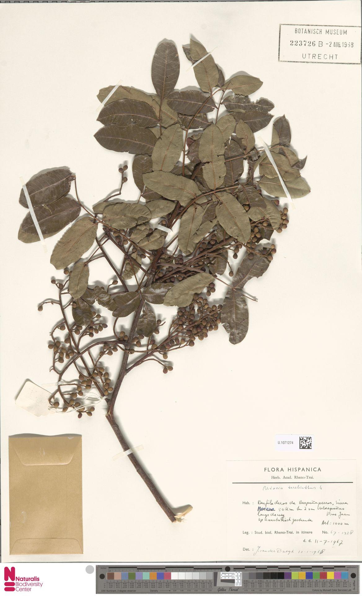 U.1071274 | Pistacia terebinthus L.