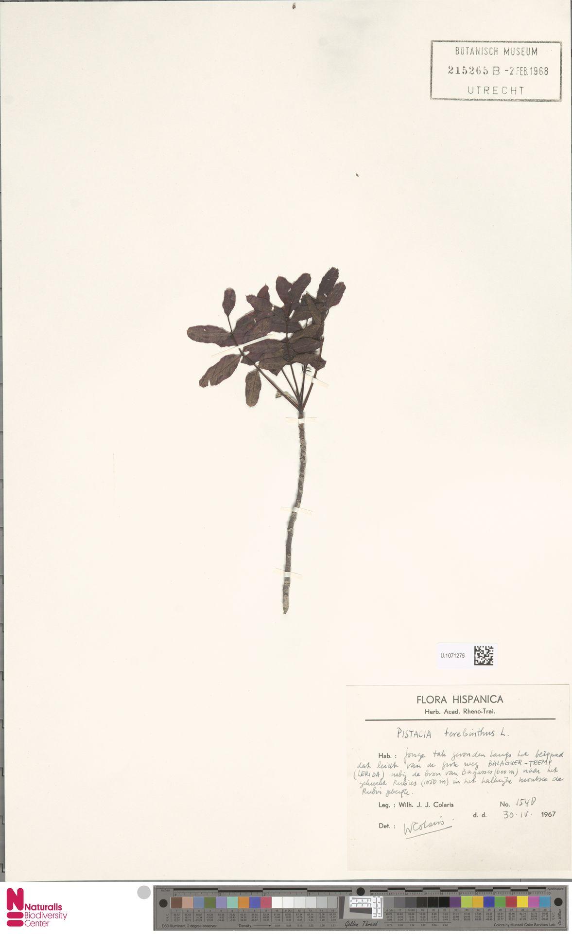 U.1071275 | Pistacia terebinthus L.