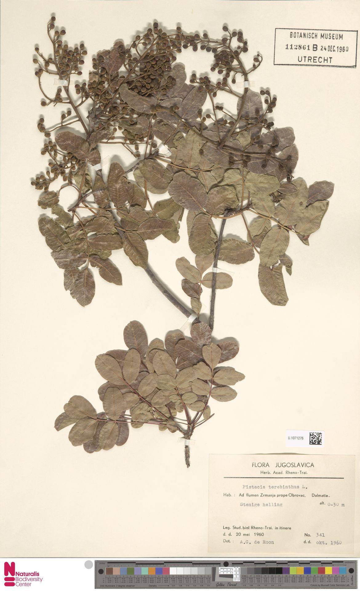 U.1071276 | Pistacia terebinthus L.