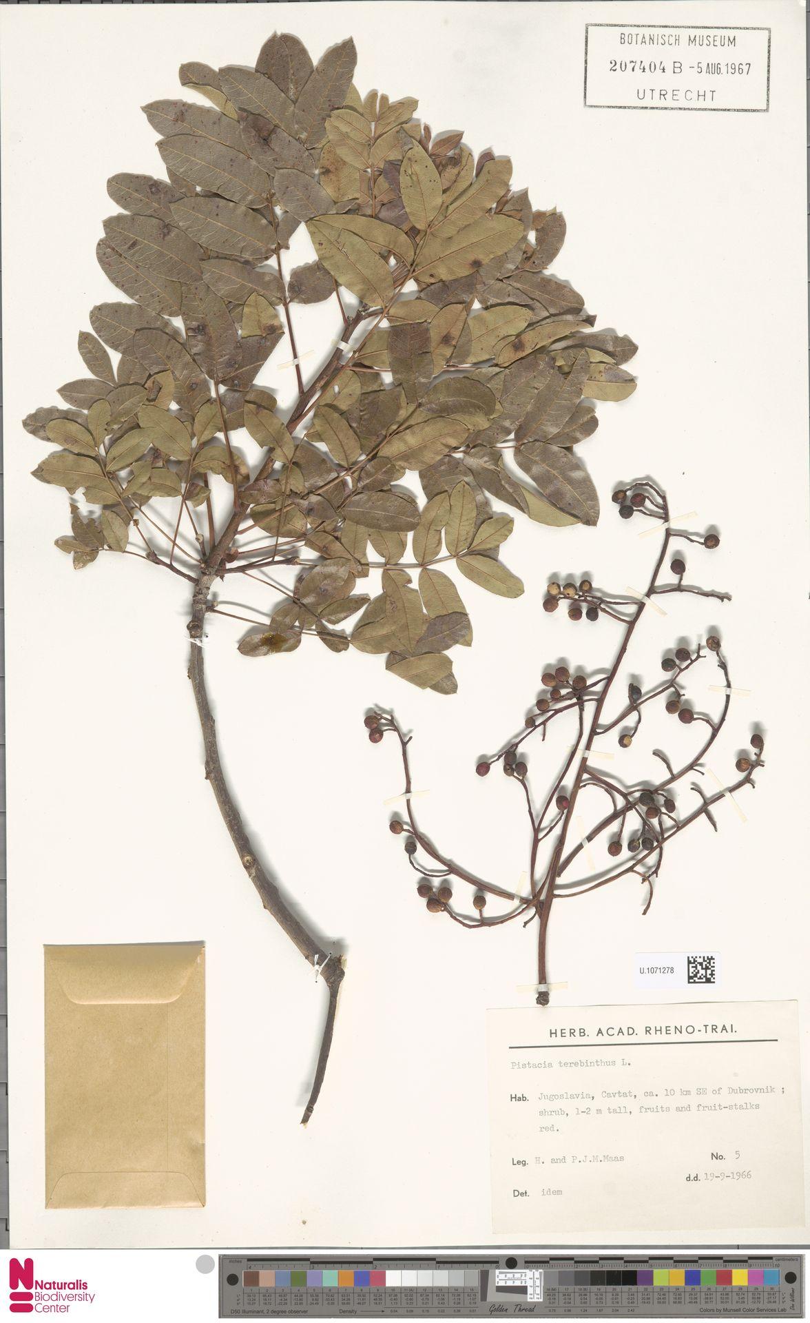 U.1071278 | Pistacia terebinthus L.