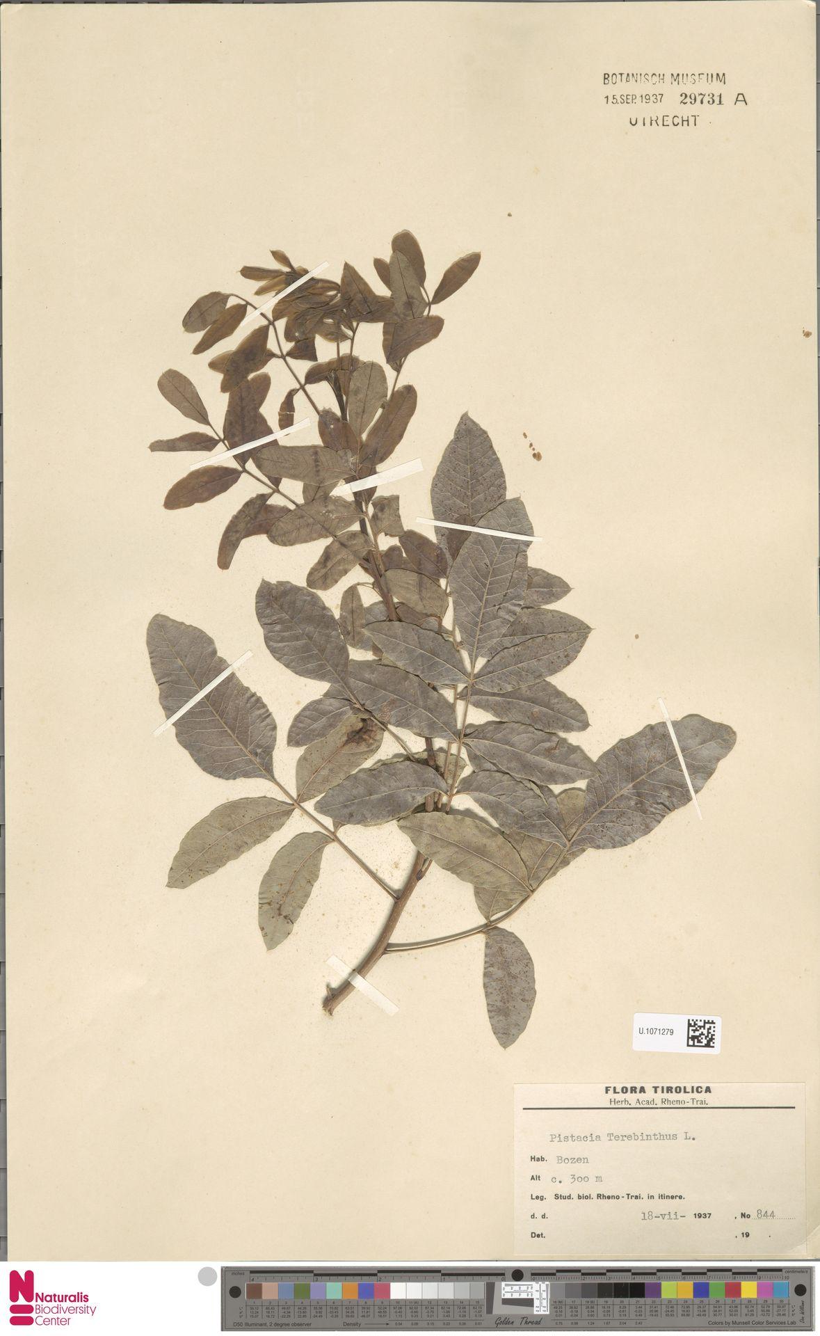 U.1071279 | Pistacia terebinthus L.