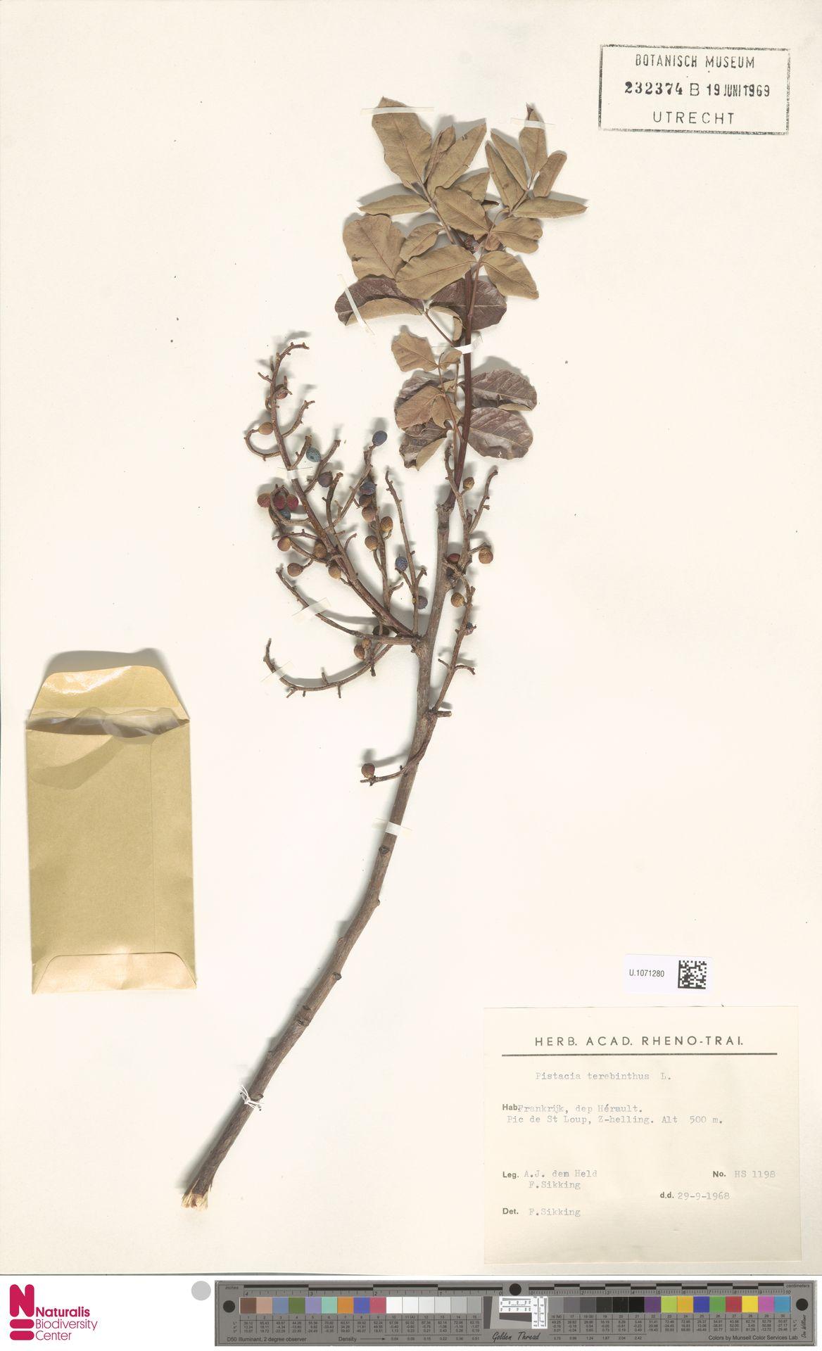 U.1071280 | Pistacia terebinthus L.
