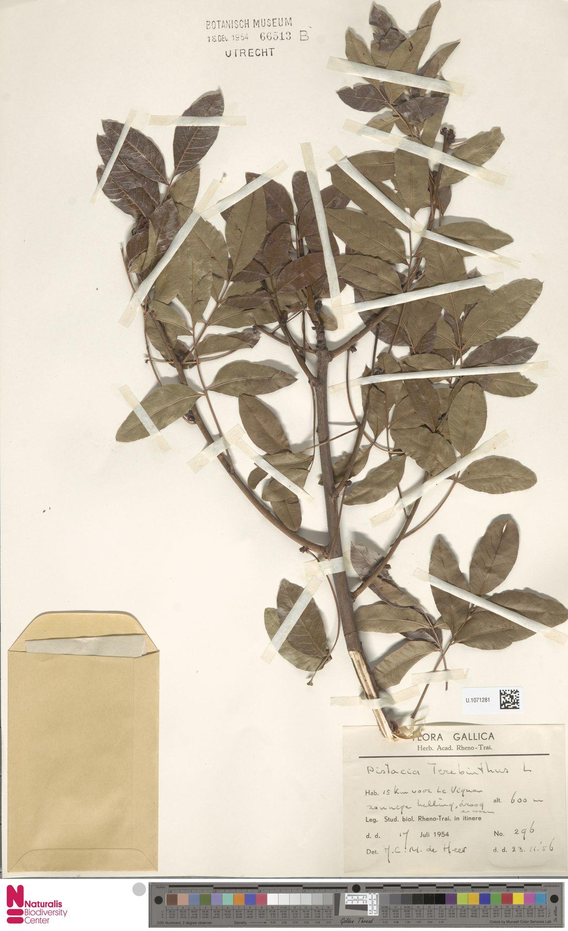 U.1071281 | Pistacia terebinthus L.