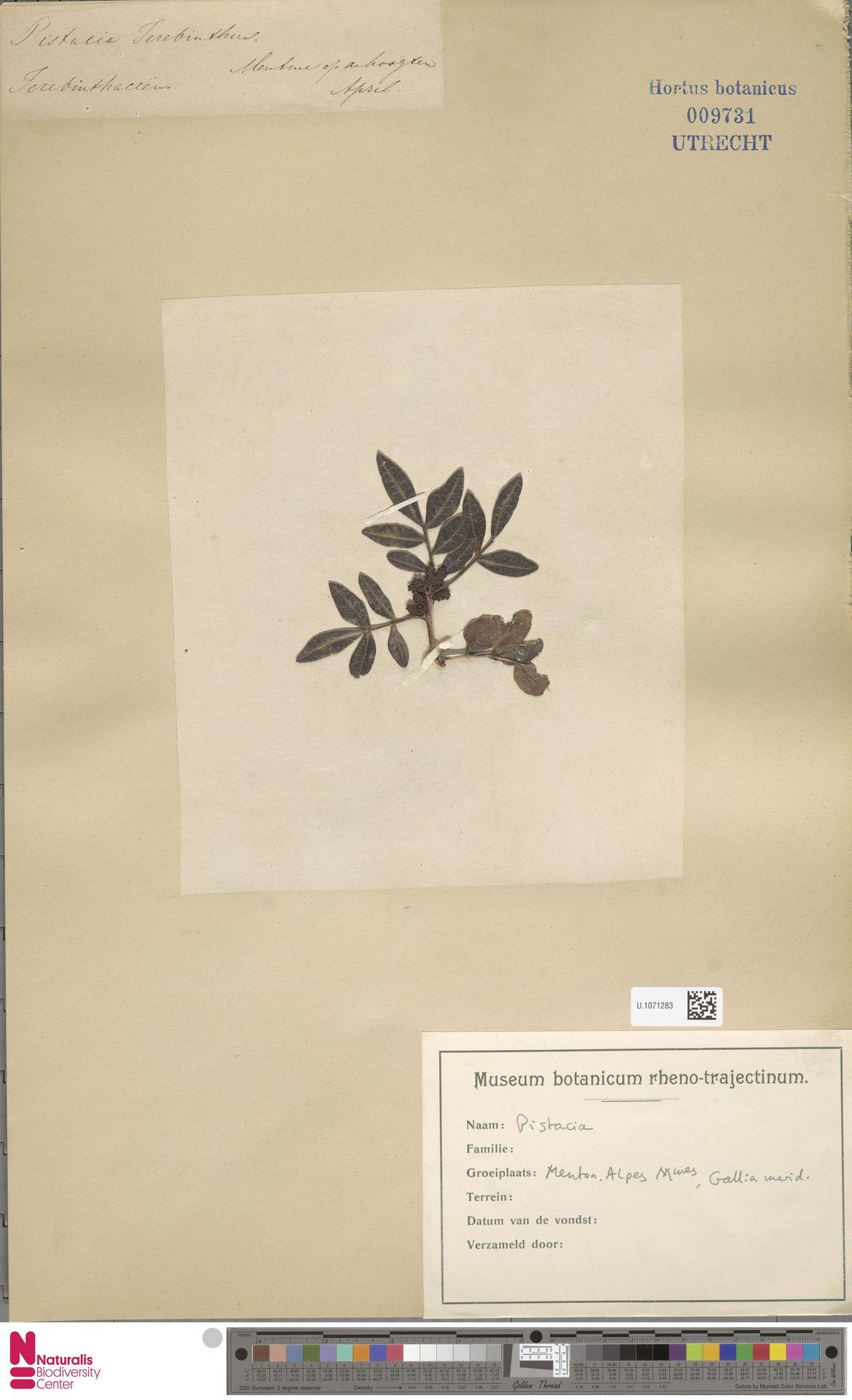 U.1071283 | Pistacia terebinthus L.