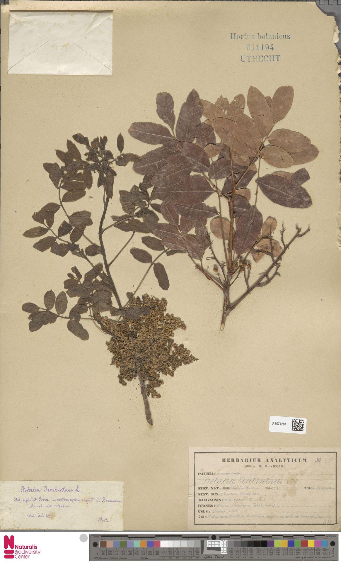 U.1071284 | Pistacia terebinthus L.