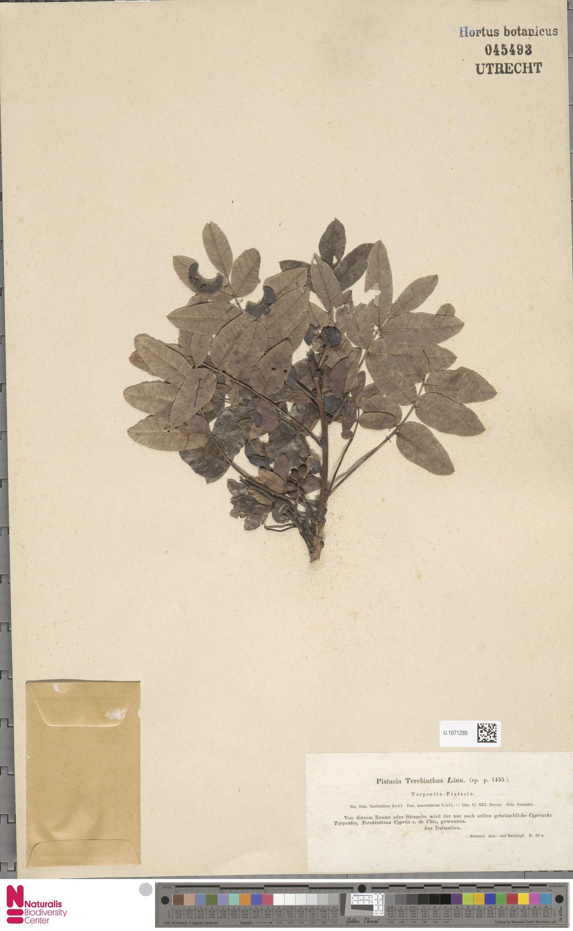 U.1071285 | Pistacia terebinthus L.