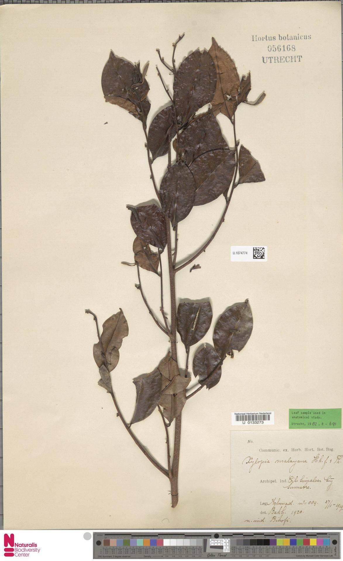 U.1074774   Xylopia malayana Hook.f. & Thomson