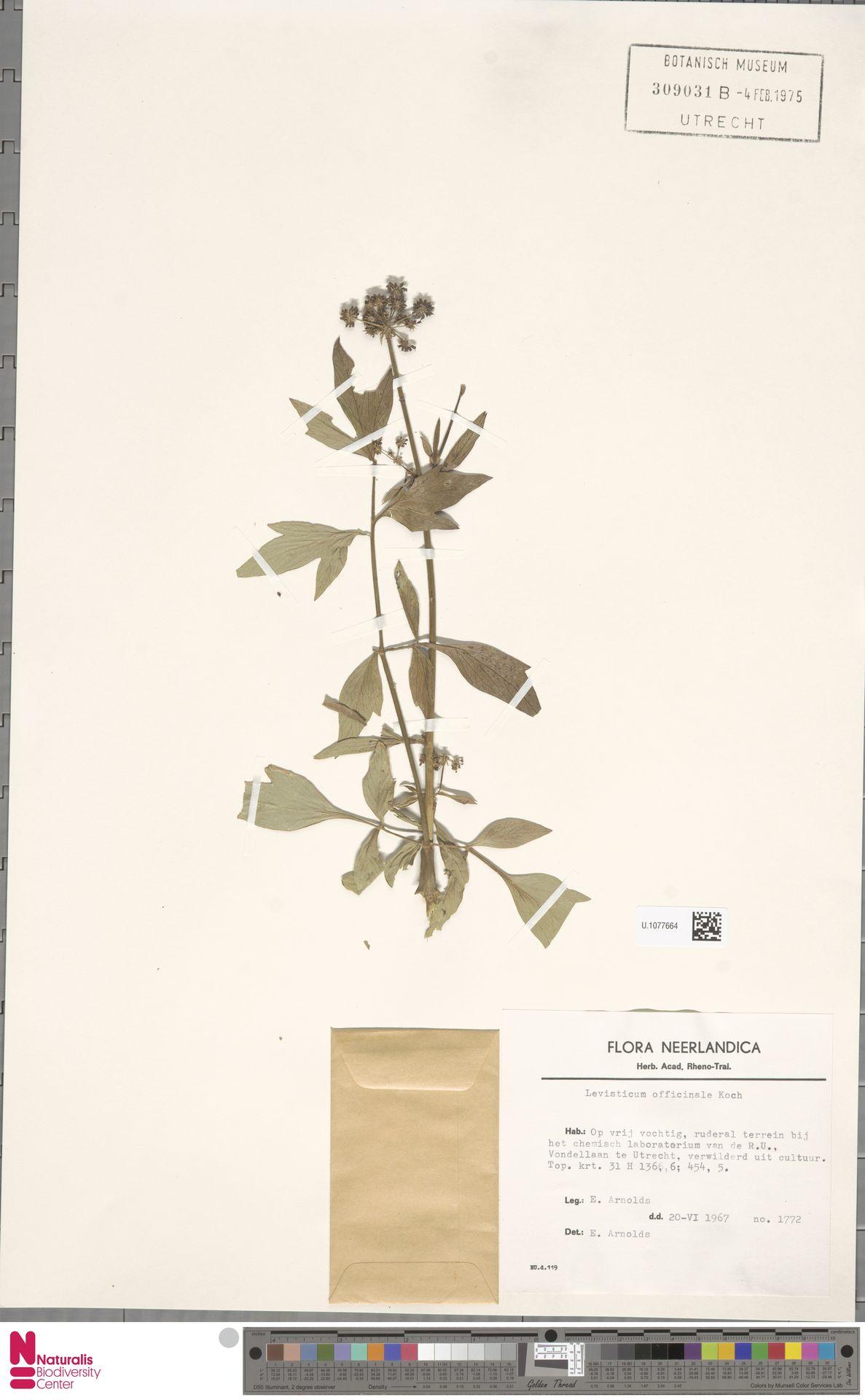 U.1077664 | Levisticum officinale W.D.J.Koch