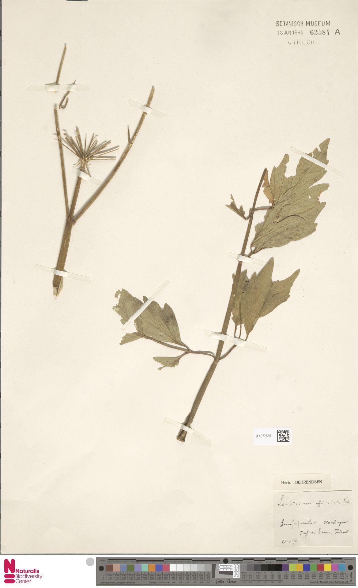 U.1077665 | Levisticum officinale W.D.J.Koch