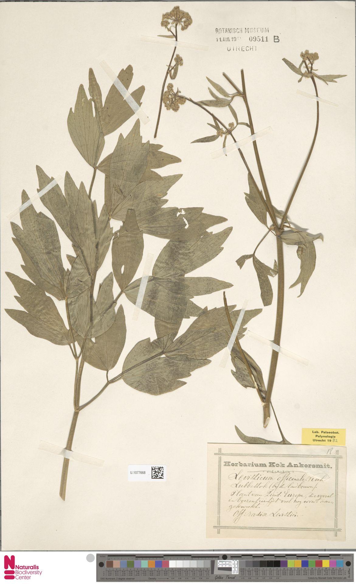 U.1077668 | Levisticum officinale W.D.J.Koch