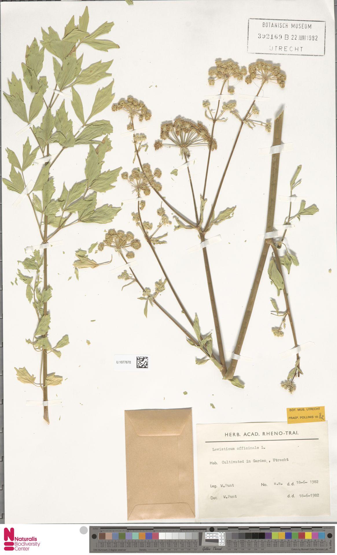 U.1077670 | Levisticum officinale W.D.J.Koch