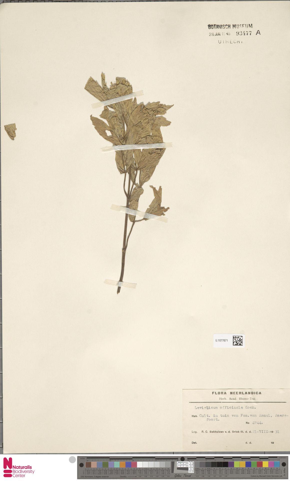 U.1077671 | Levisticum officinale W.D.J.Koch