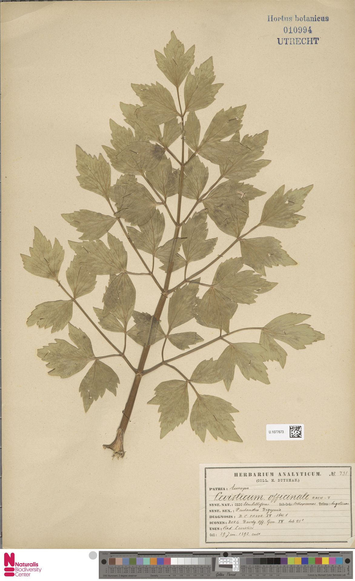 U.1077673 | Levisticum officinale W.D.J.Koch