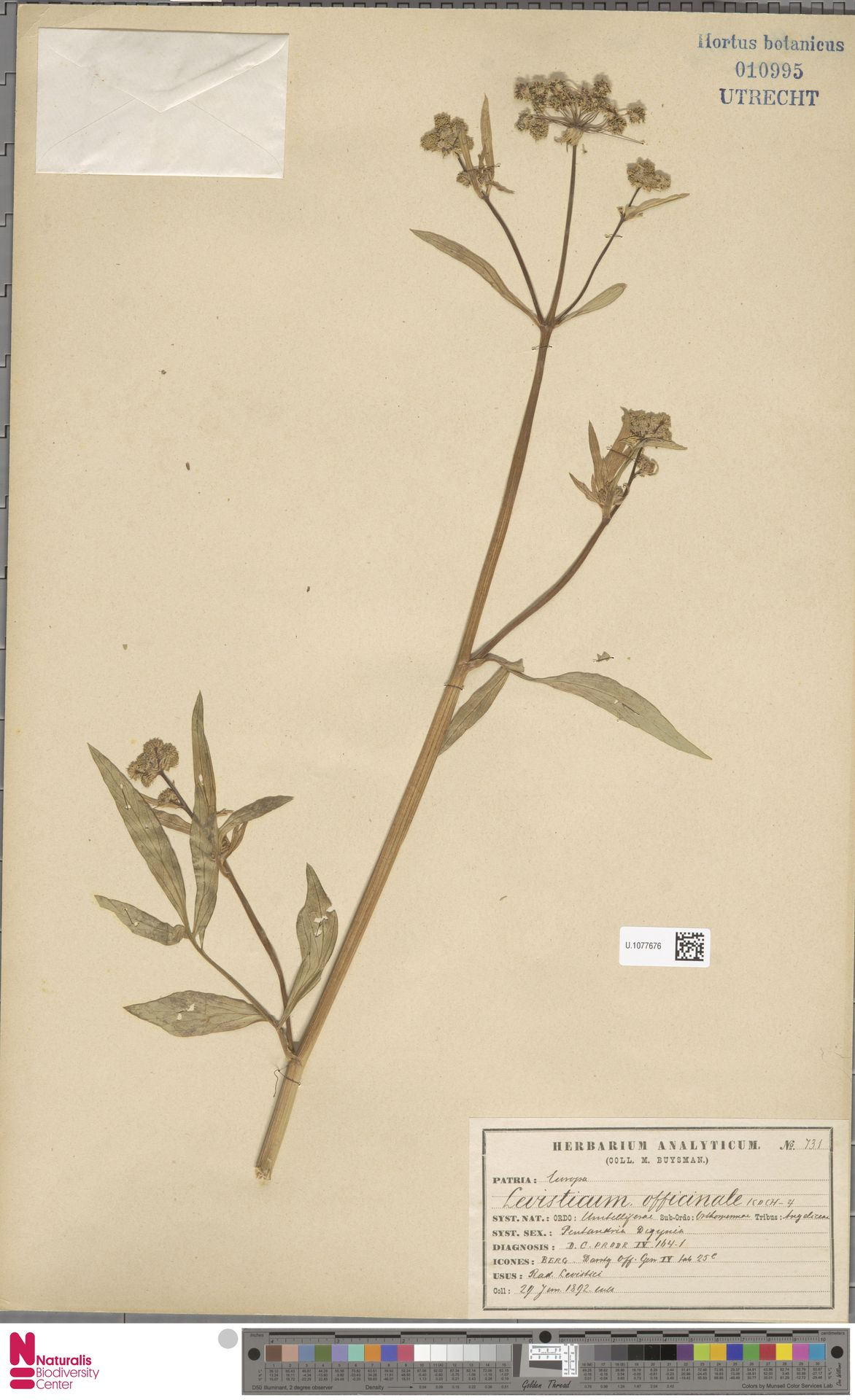 U.1077676 | Levisticum officinale W.D.J.Koch