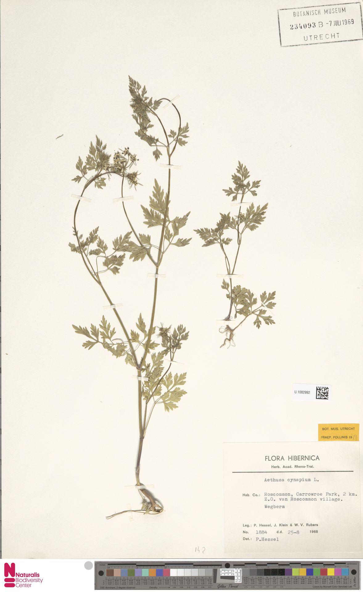 U.1082992   Aethusa cynapium L.