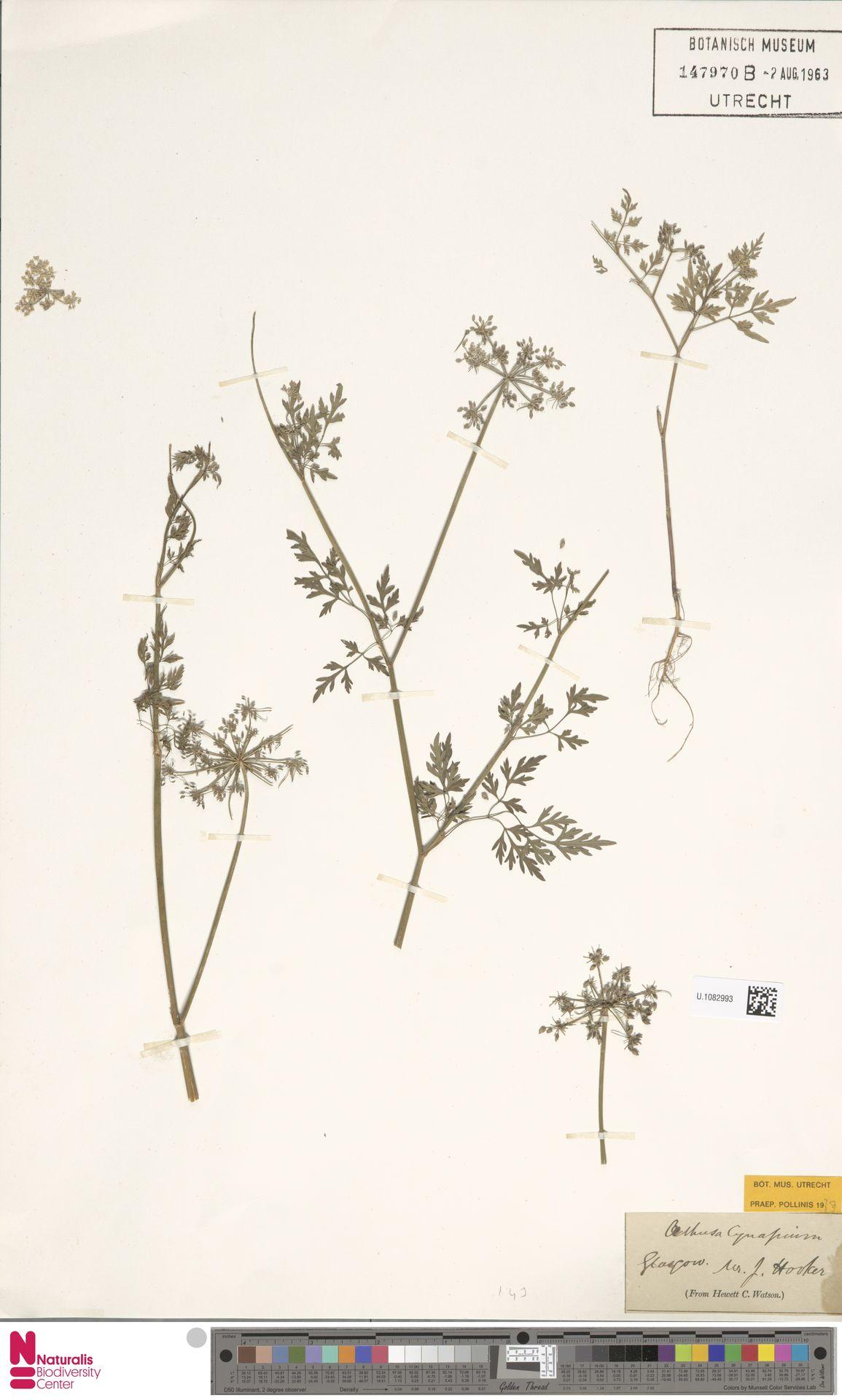 U.1082993 | Aethusa cynapium L.