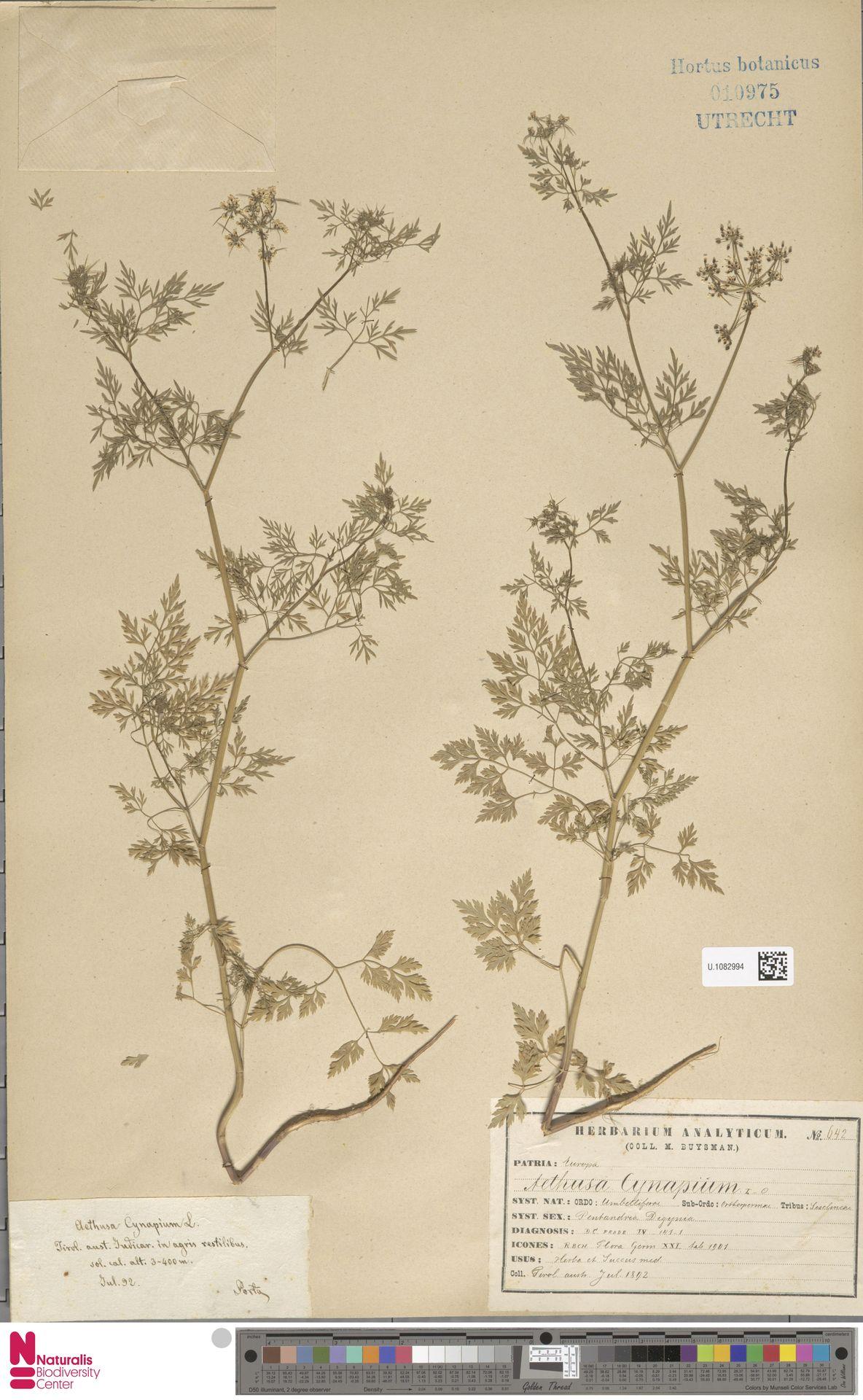 U.1082994 | Aethusa cynapium L.