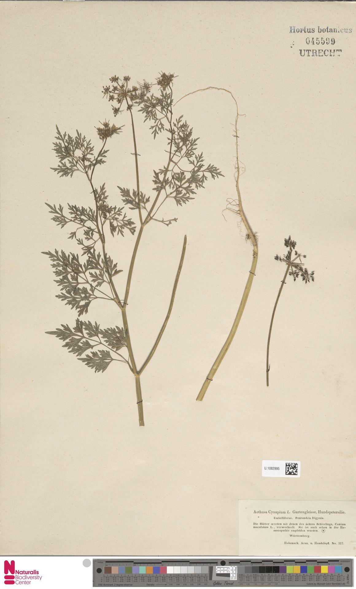 U.1082995 | Aethusa cynapium L.
