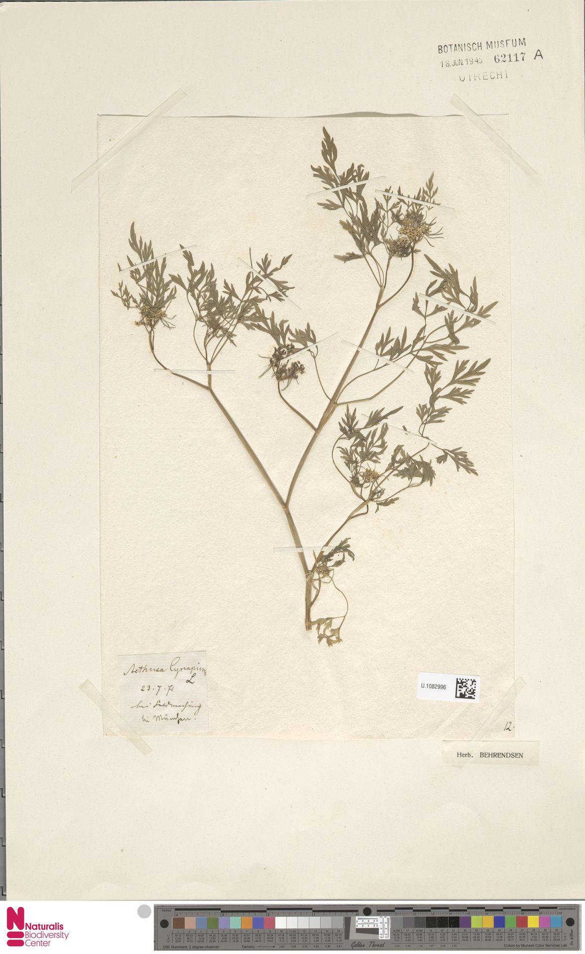 U.1082996 | Aethusa cynapium L.