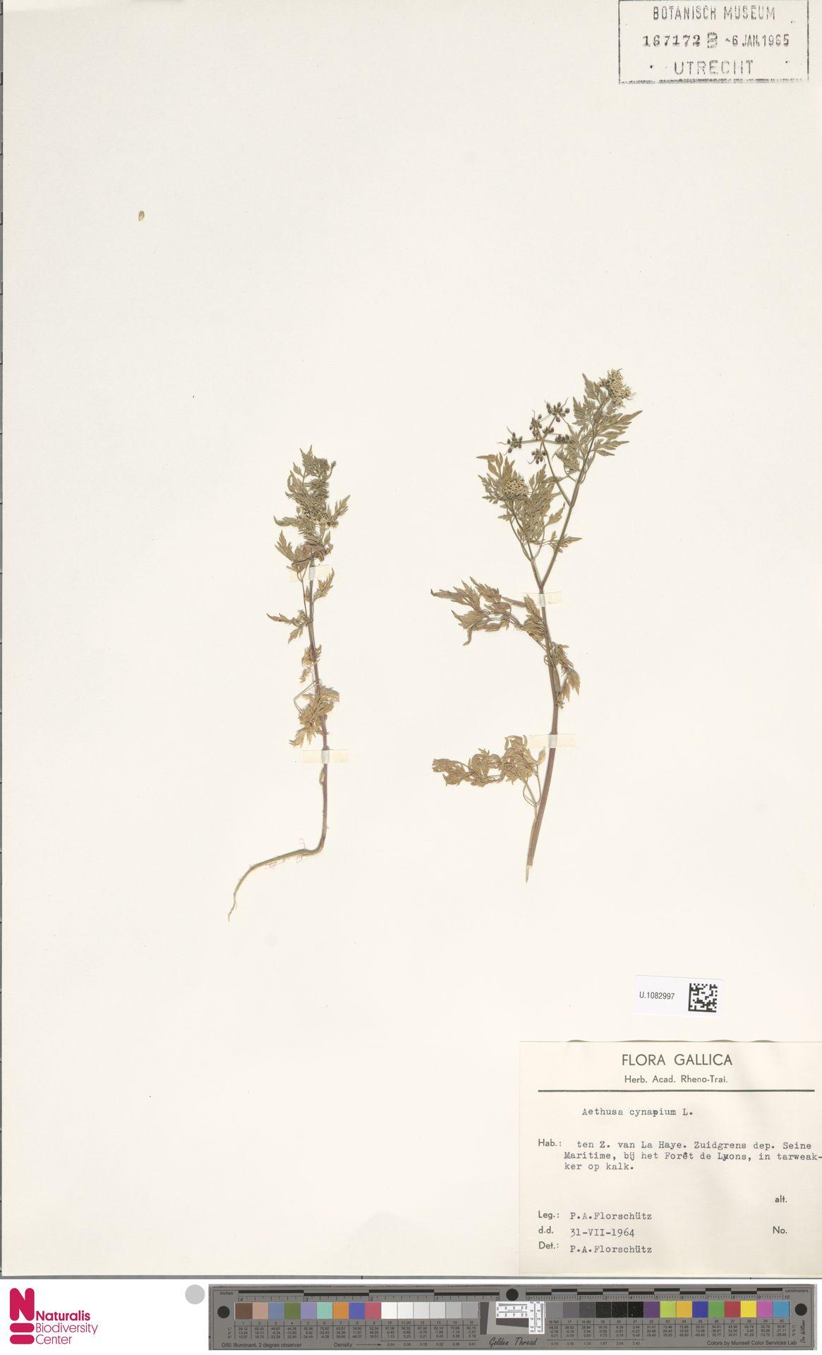 U.1082997 | Aethusa cynapium L.